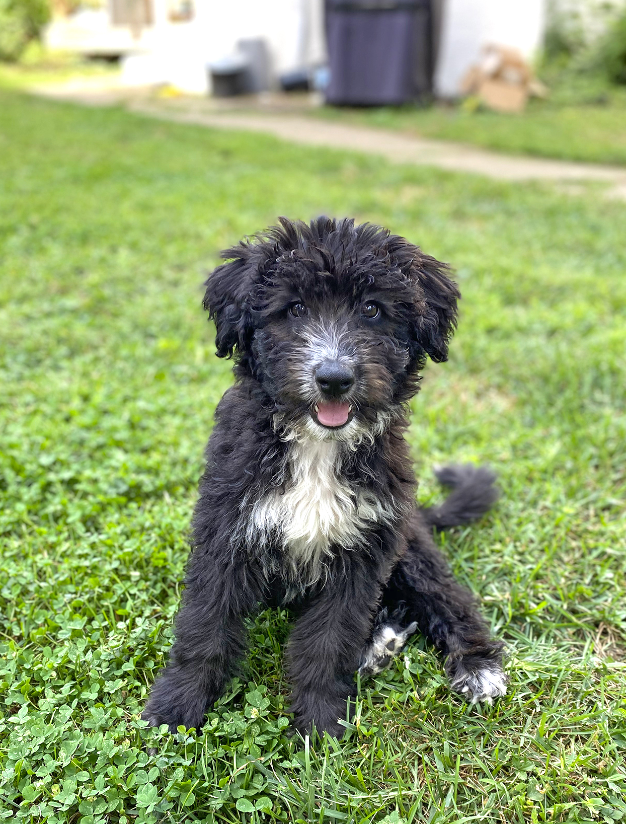 Black aussiedoodle sits in yard