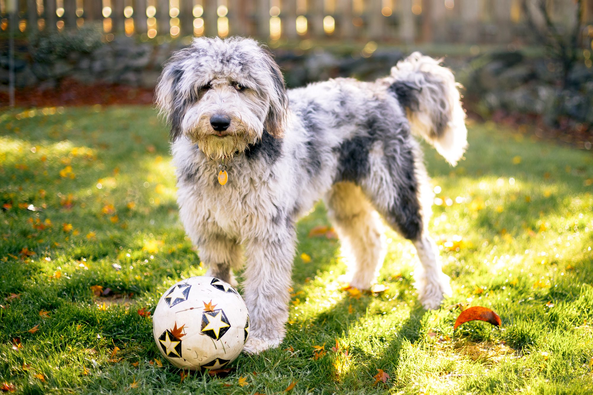 Cream and charcoal aussiedoodle plays with soccer ball outside in yard