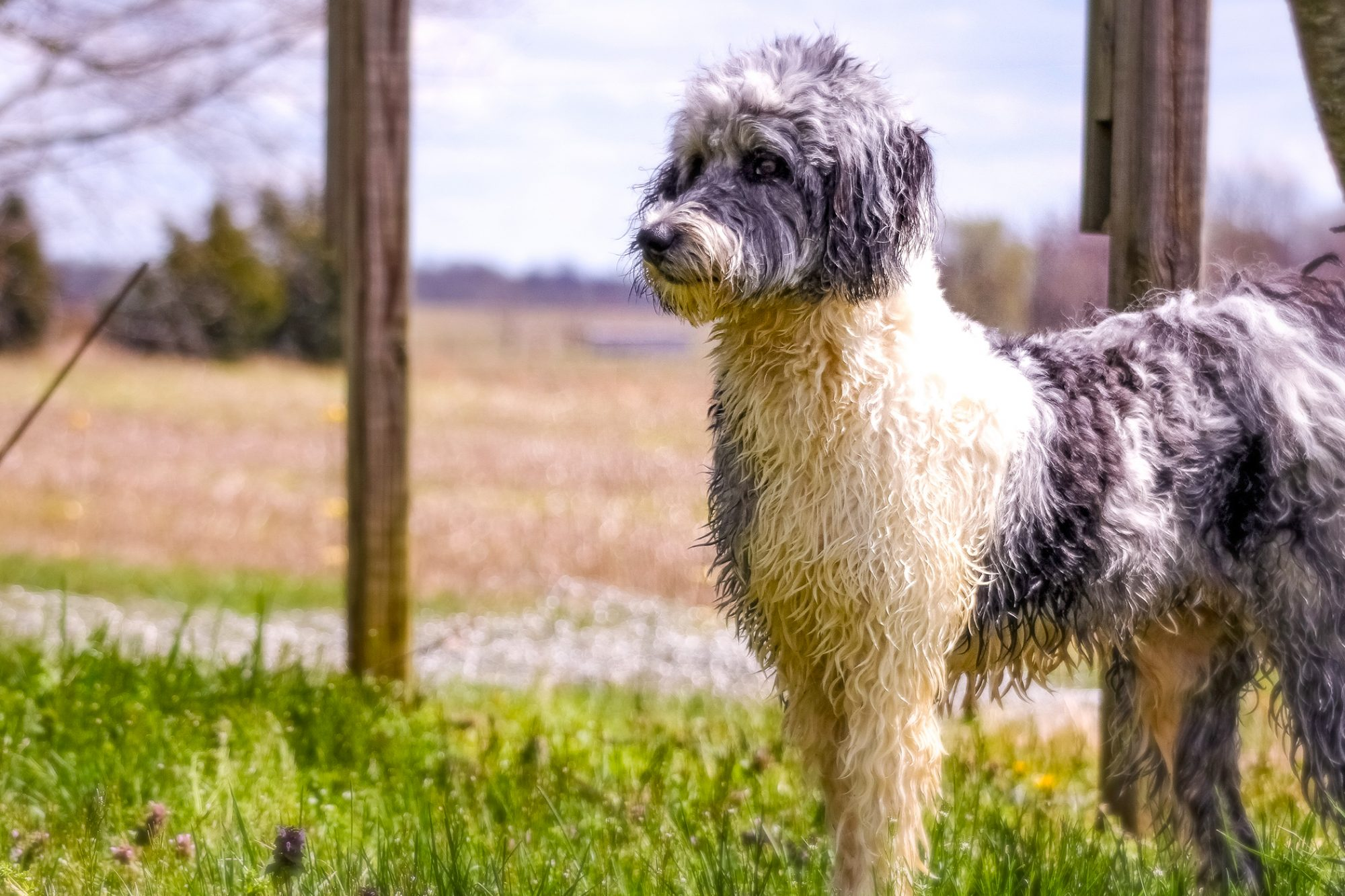 Aussiedoodle cream and grey dog stands outside in front of wooden posts