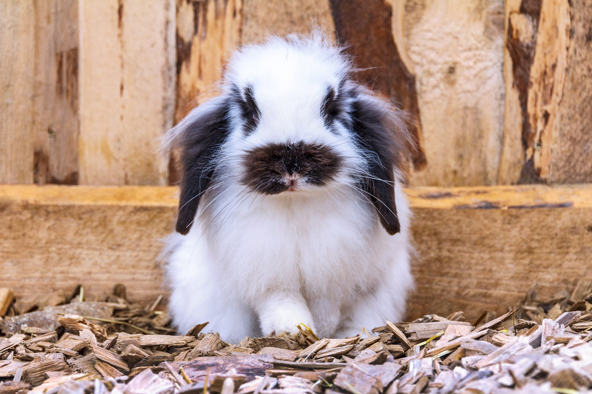 black and white rabbit sits in woodships