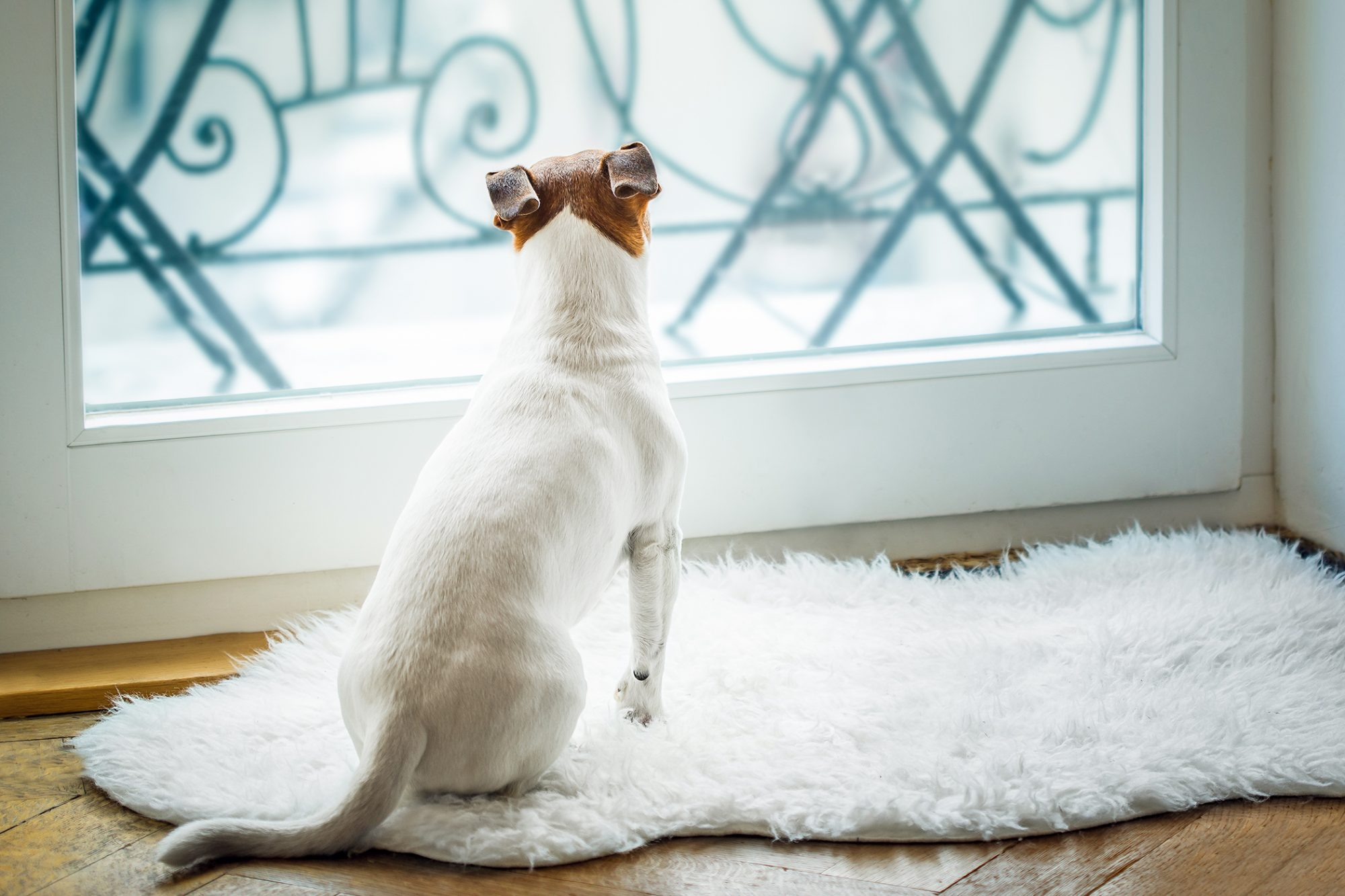 Dog looks out window while sitting on rug