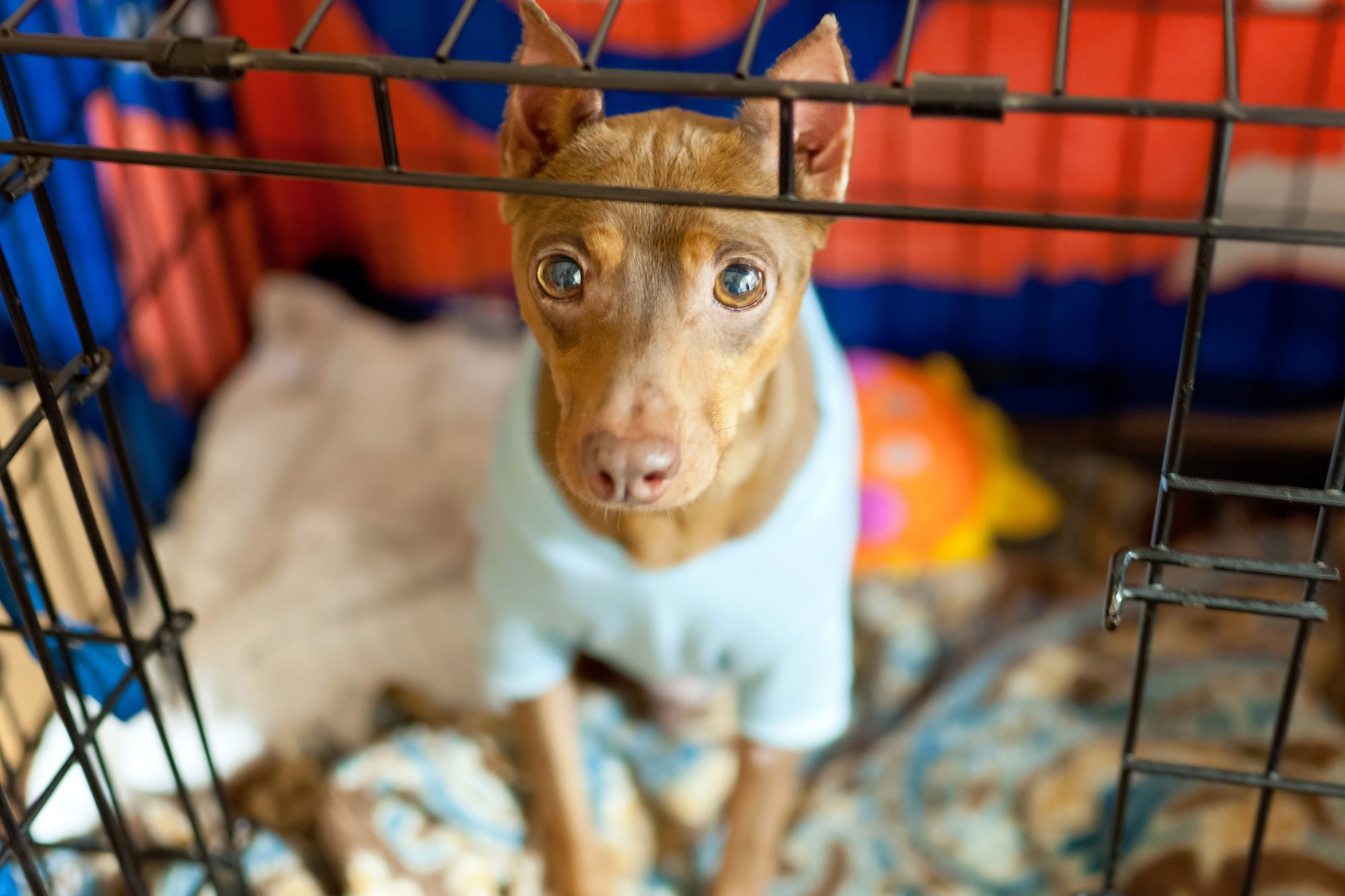 Chihuahua mix in blue sweater sits in crate