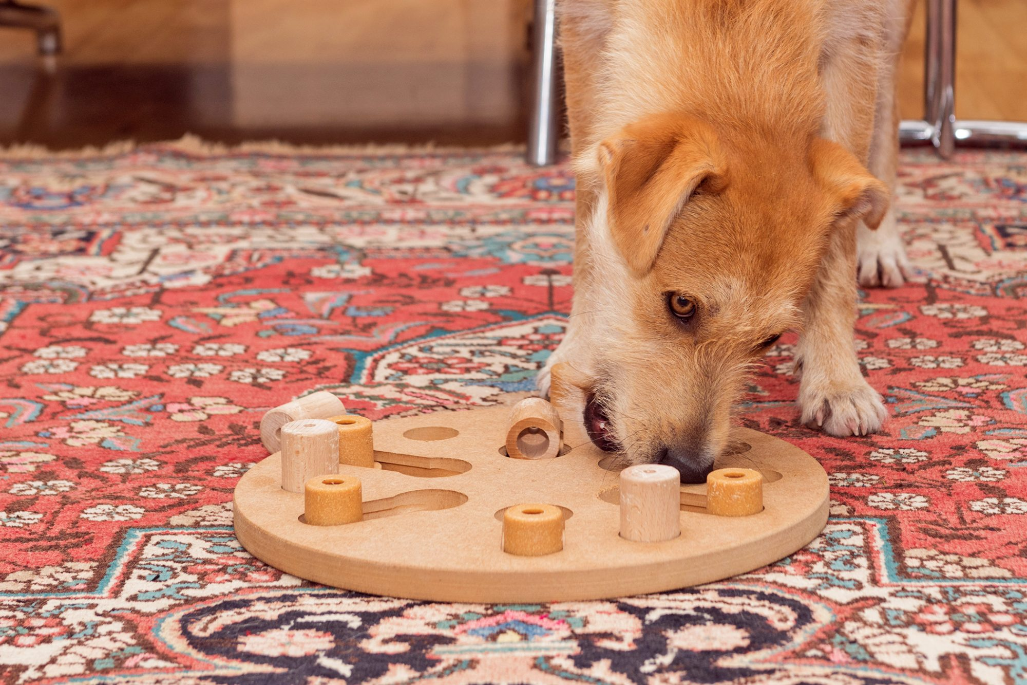 Adult dog plays with dog puzzle indoors