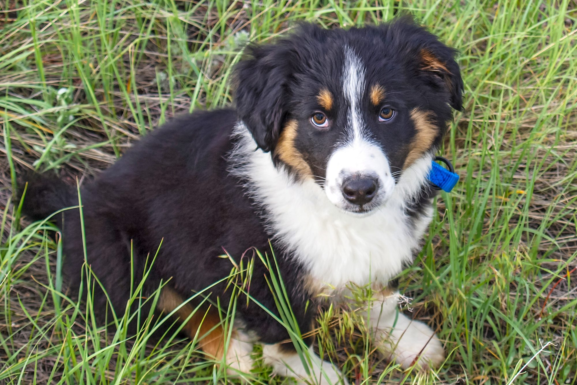 Black and cream english shepherd puppy sits in long grass
