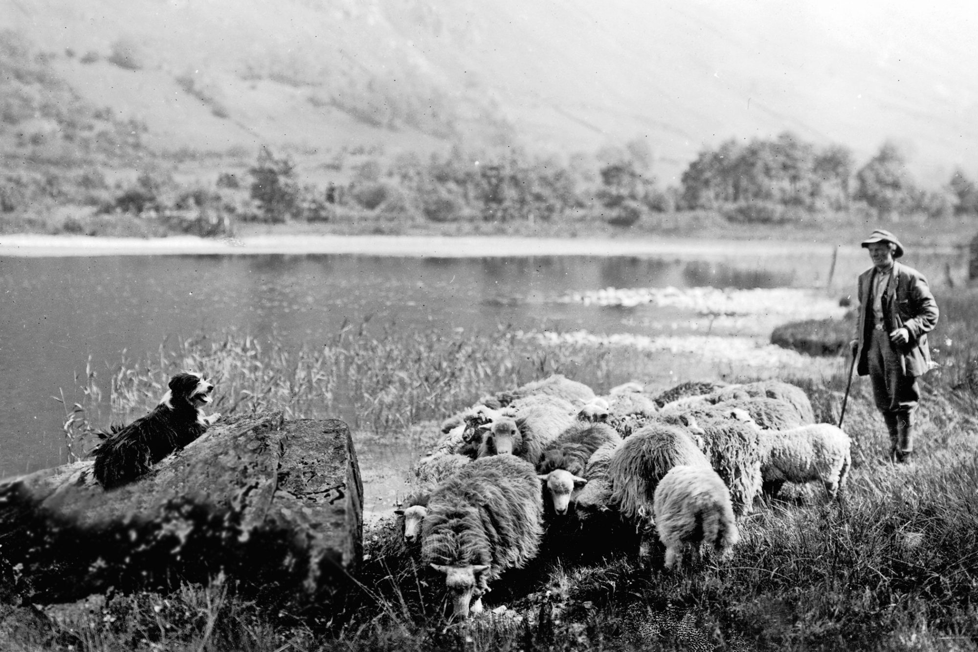 Antique photo of English shepherd looking over a flock of sheep