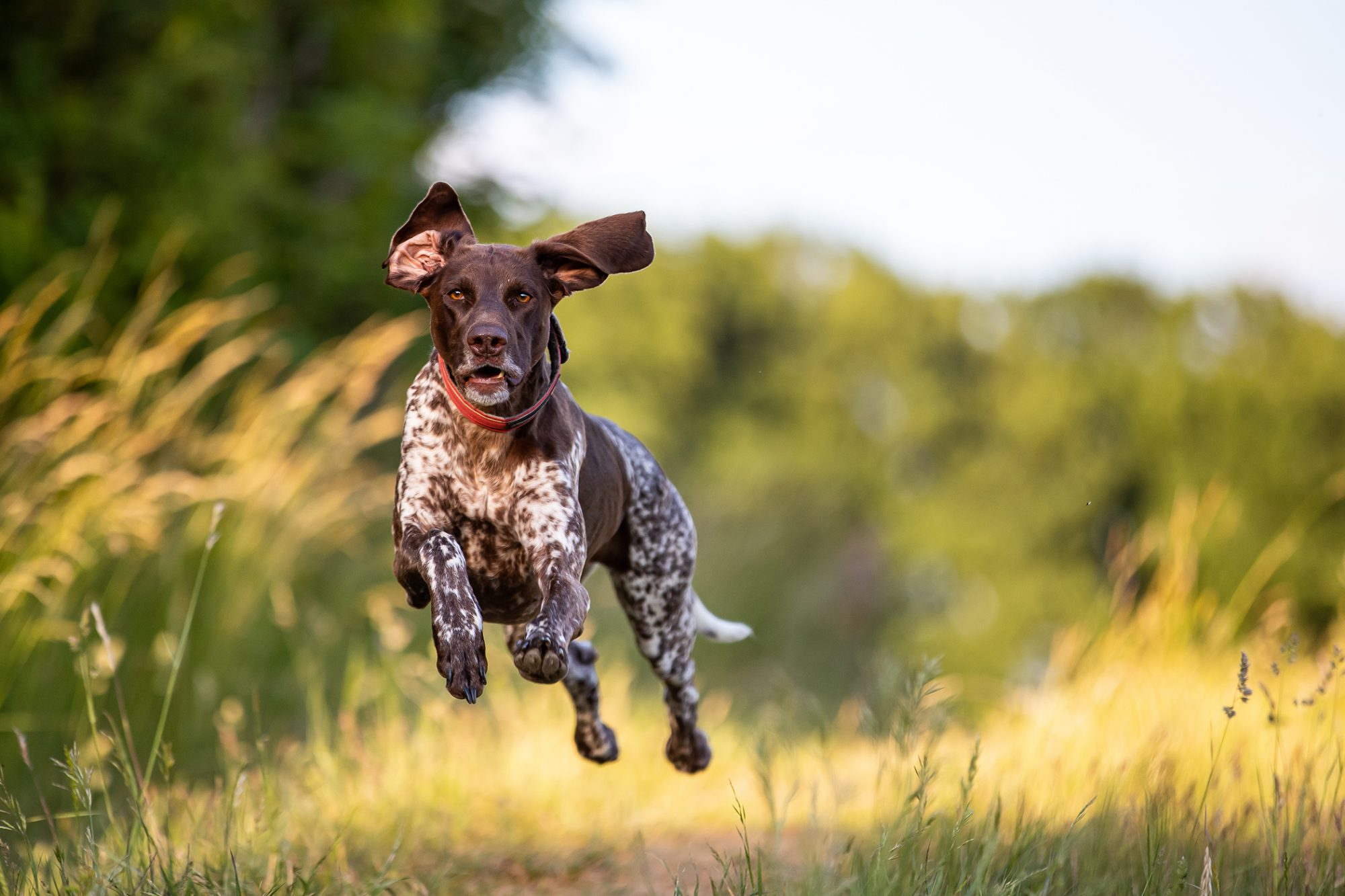 Chocolate spotted pointer bounds through field