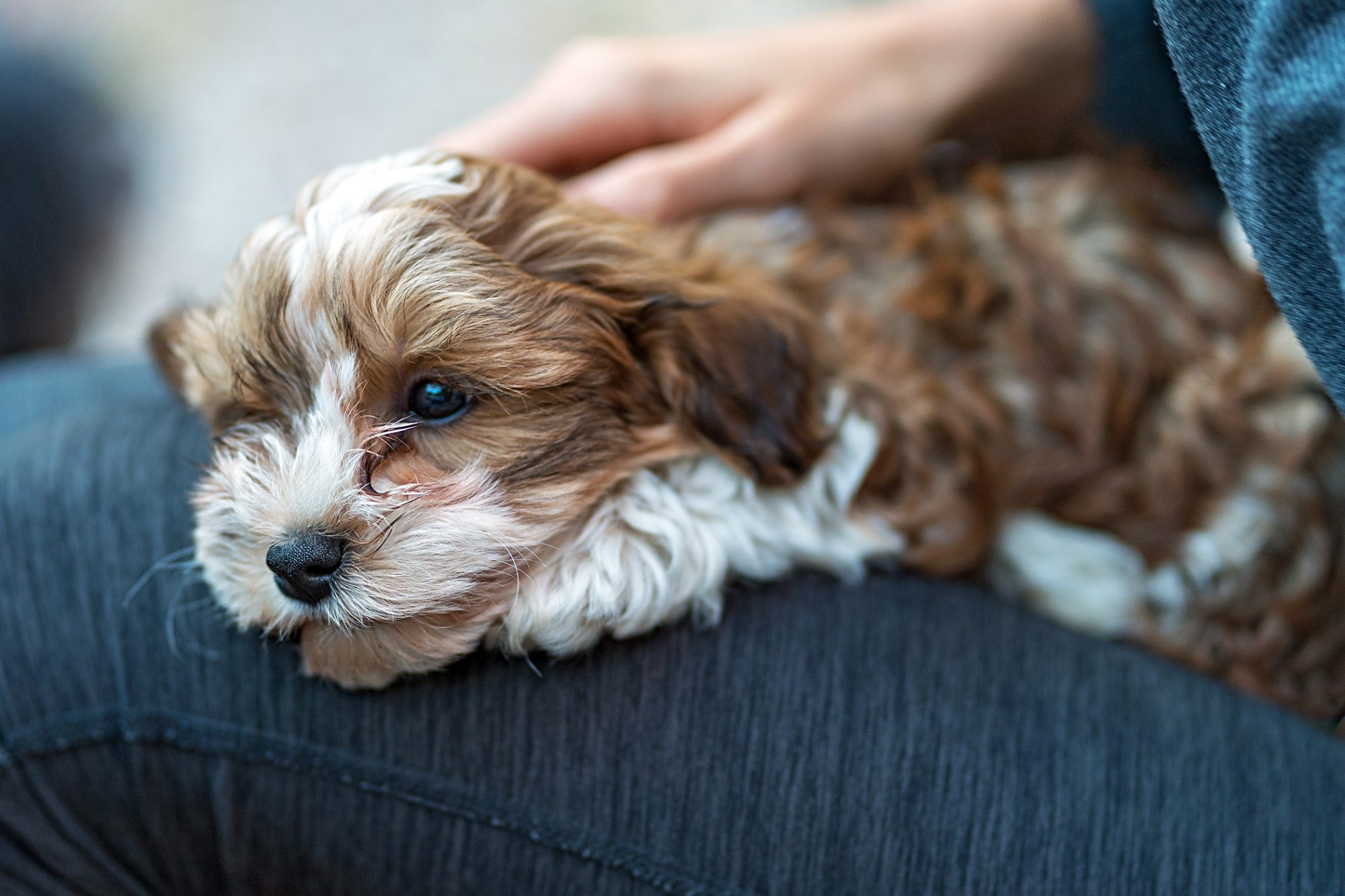 Brown and white havapoo puppy lays on lap