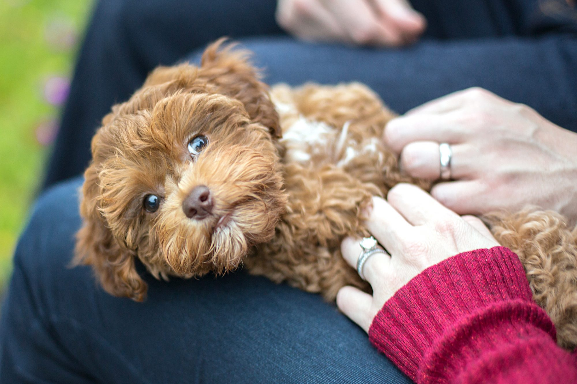 Caramel havapoo pup lays on lap and gets pets