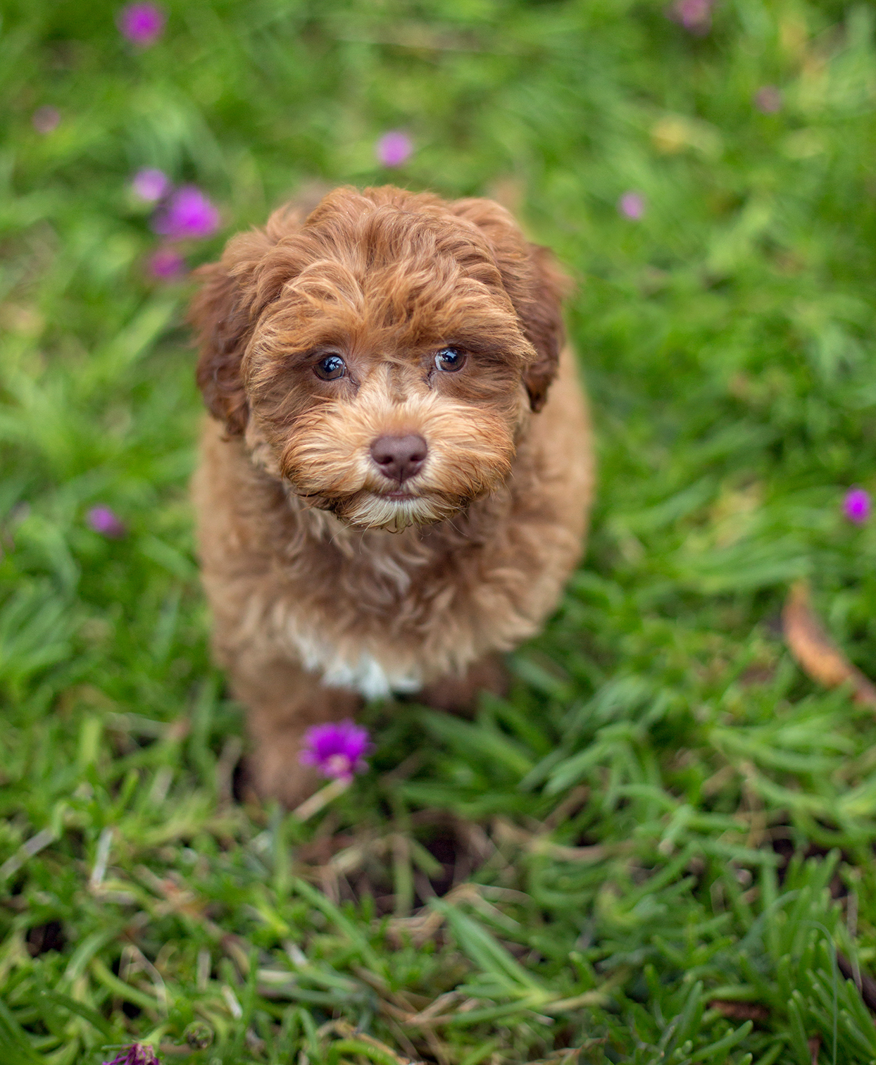 Caramel havapoo pup stands in grass with purple flowers
