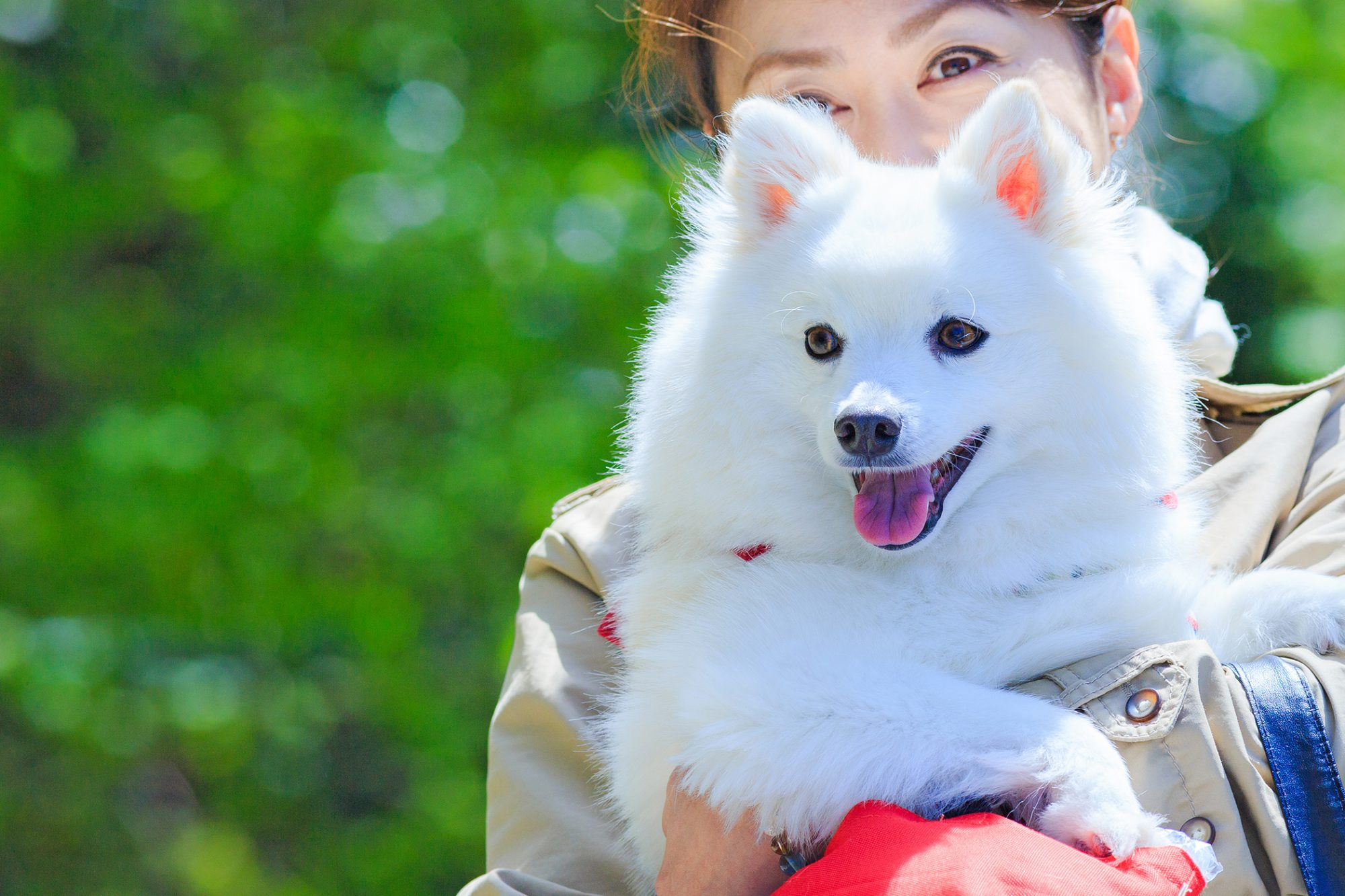 Japanese Spitz is carried by woman outside