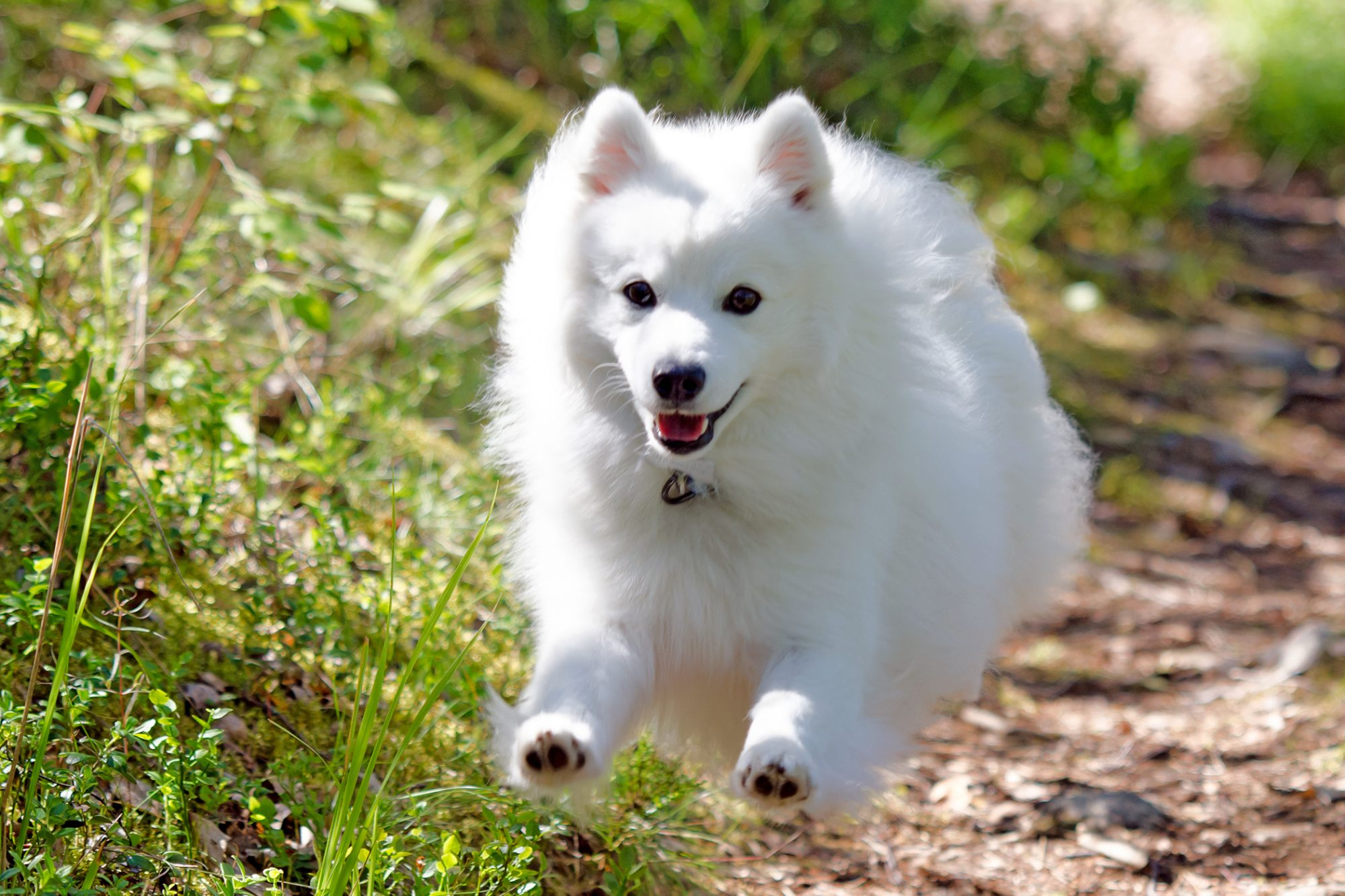 Adult Japanese Spitz bounds down hiking trail