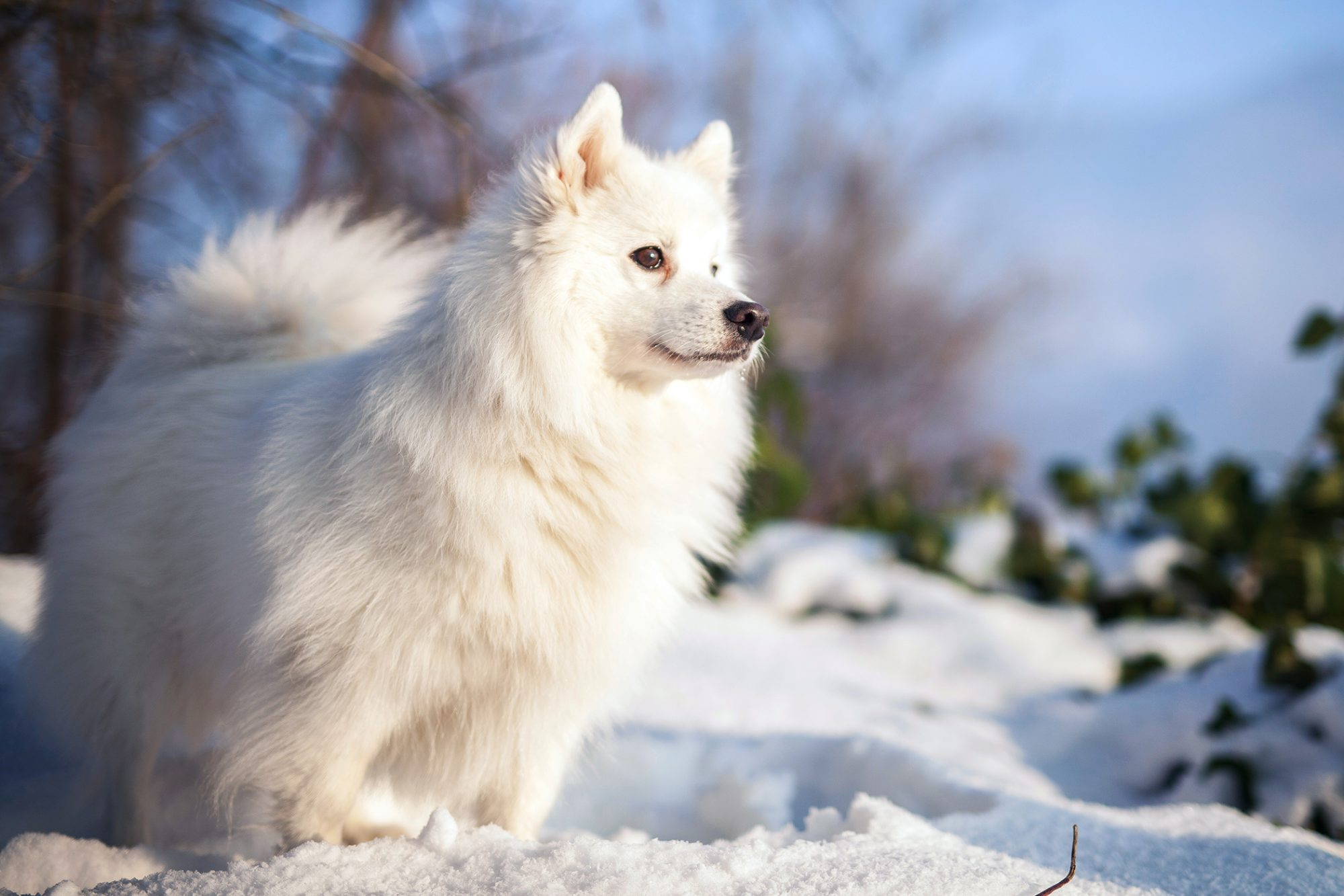 Japanese spitz stands majestically out in snow