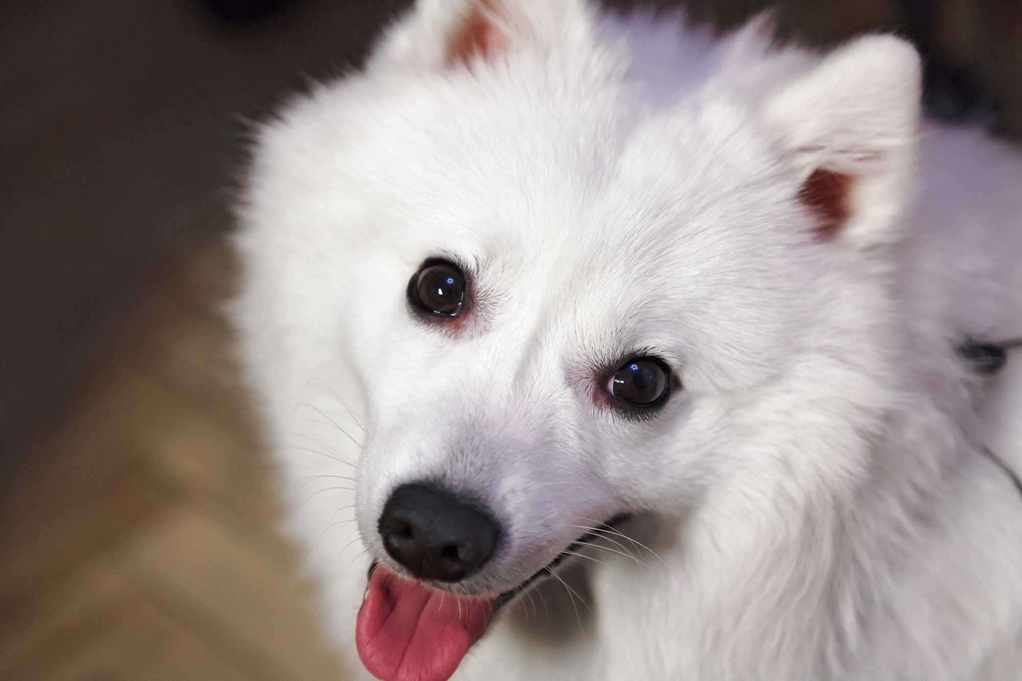 Close up of Japanese Spitz panting with tongue