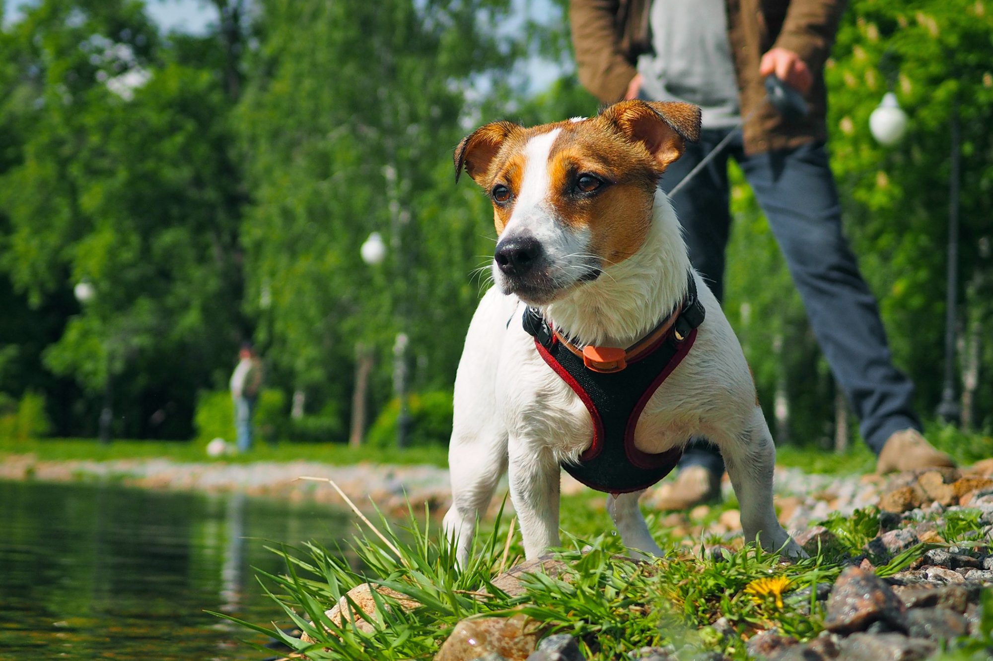 Jack Russell Terrier in a harness and on a leash on walk at park