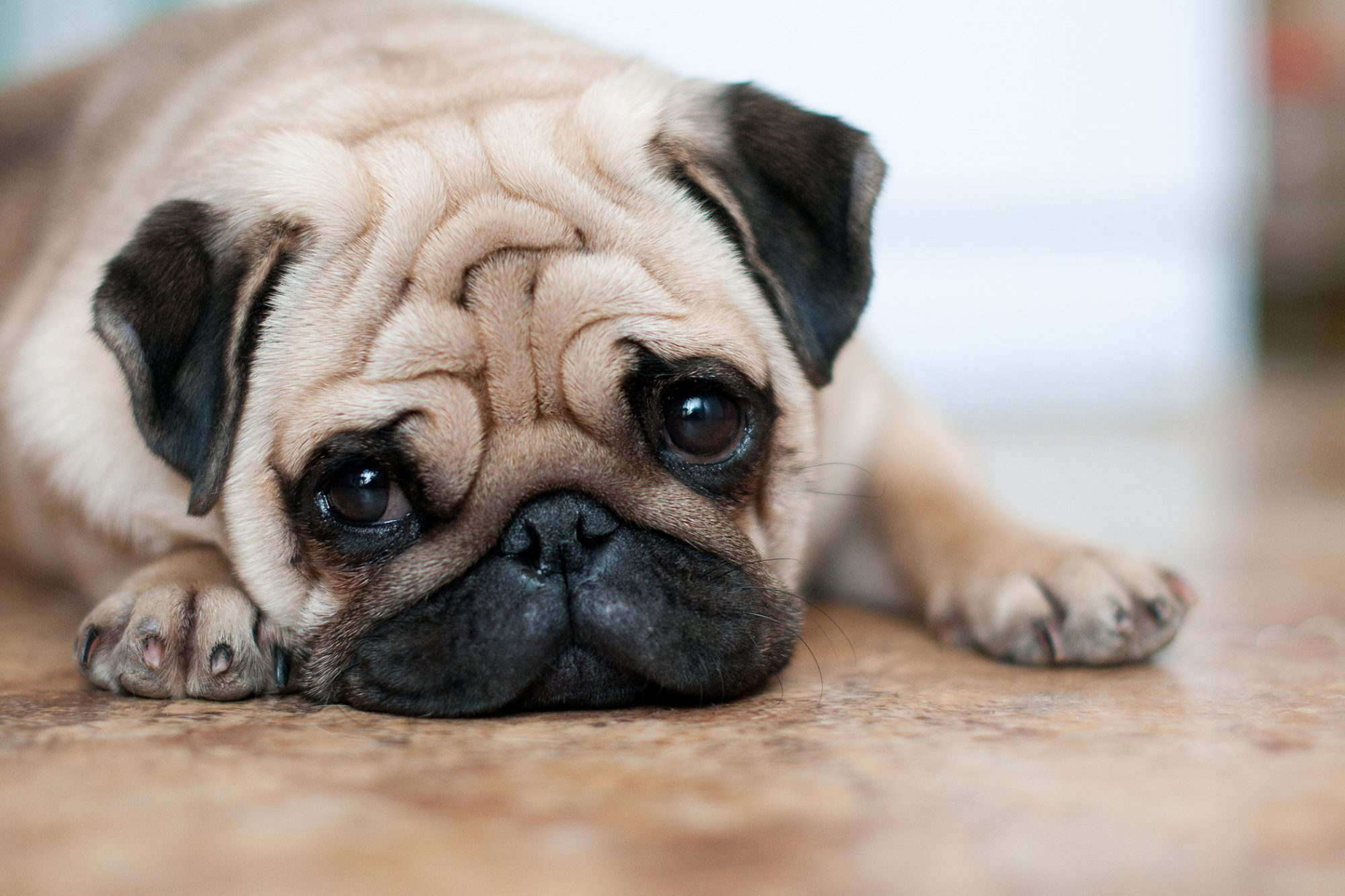 Forlorn pug lays on floor and looks at camera