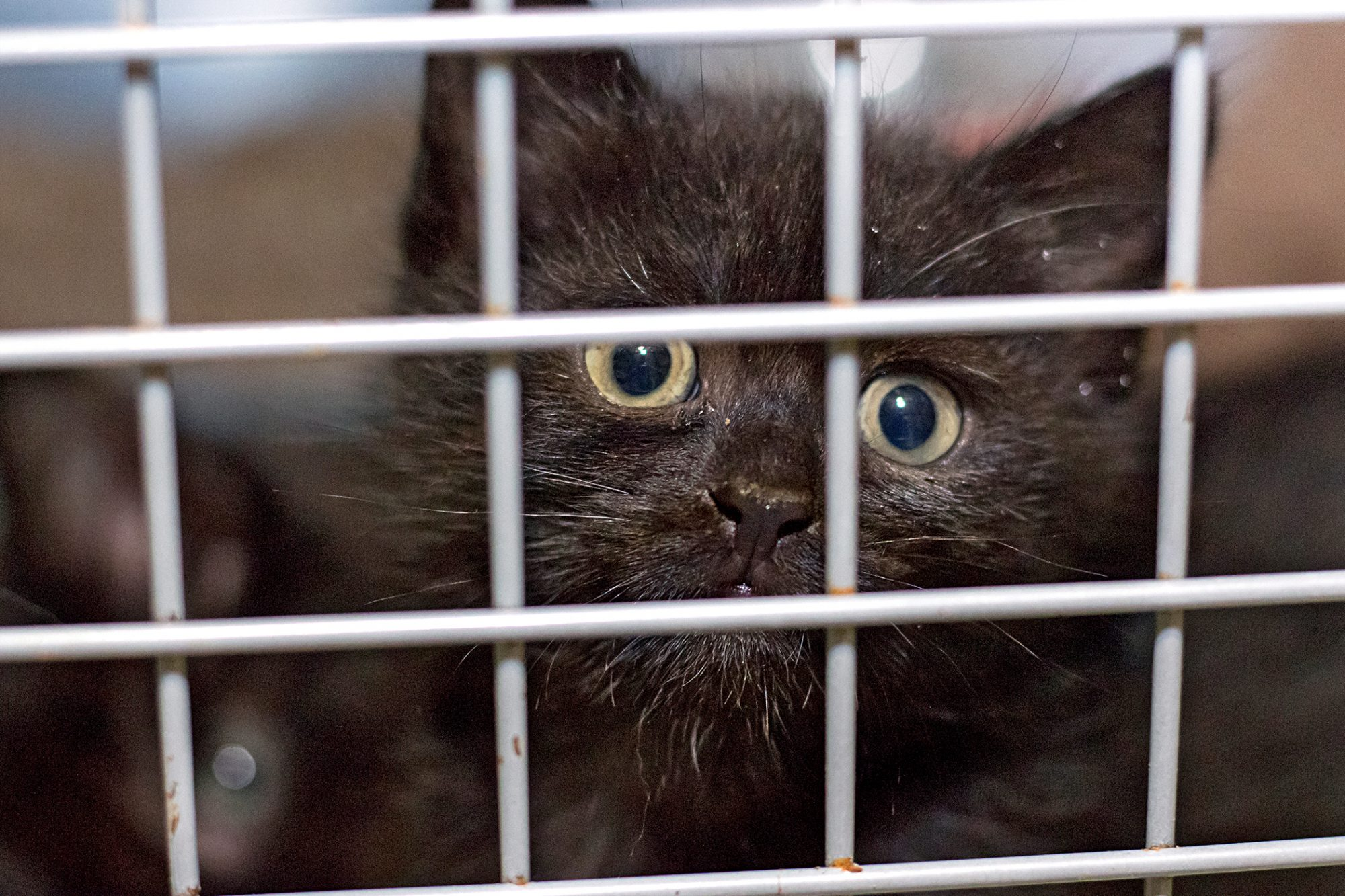 black cat stares out of cage
