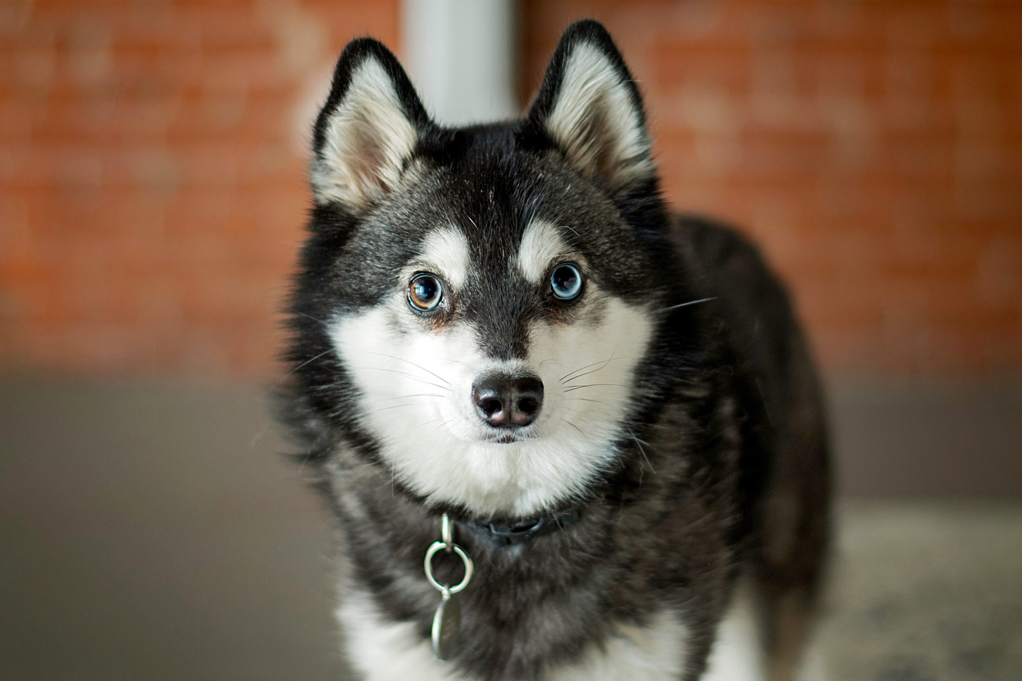Black and white Alaskan Klee Kai poses in front of brick wall