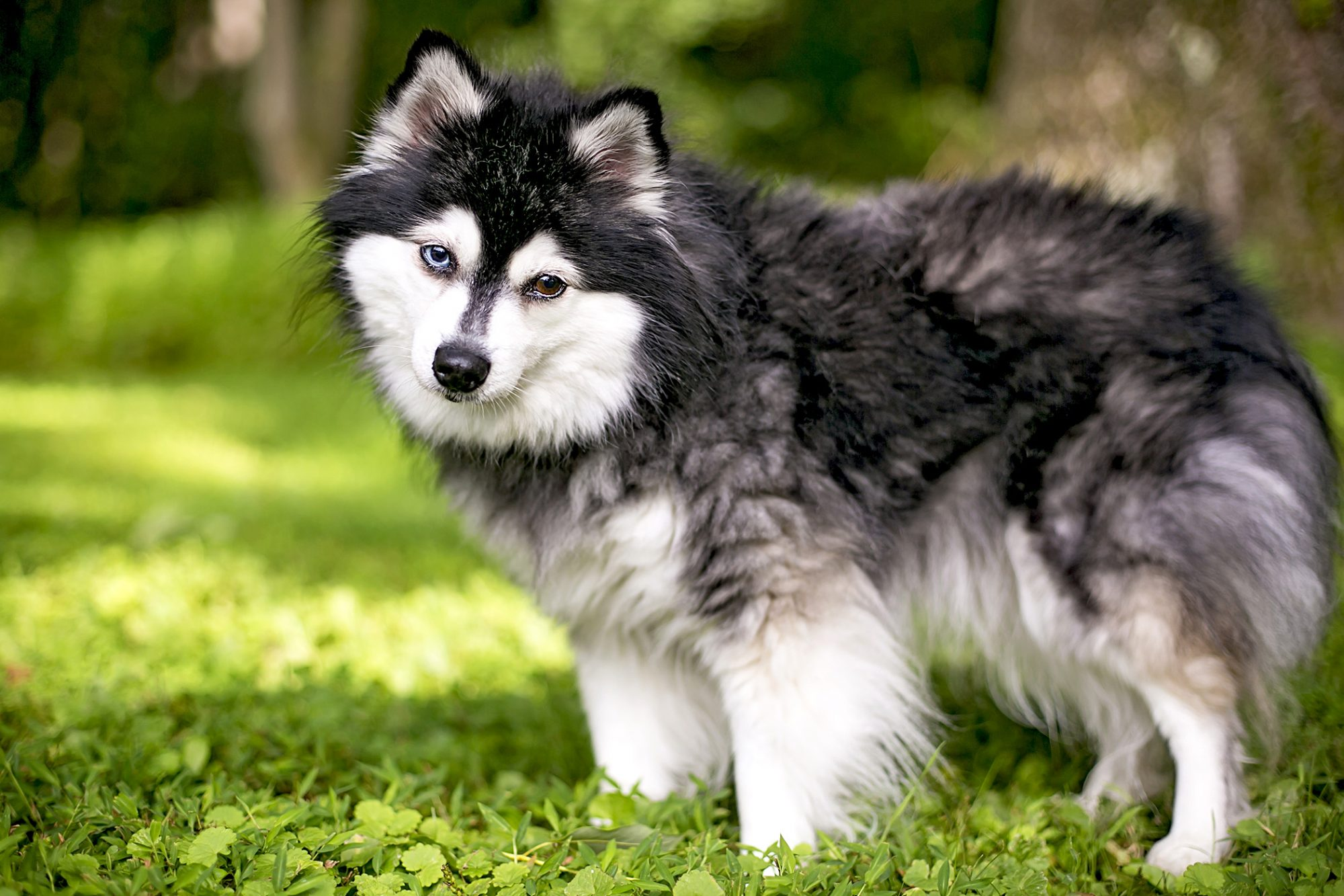 Black, grey and white alaskan klee kai stands in clover field