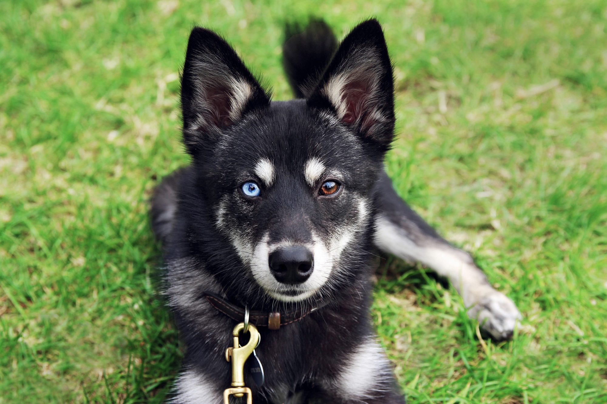 Black and white Alaskan Klee kai with blue eye and brown eye lays on grass