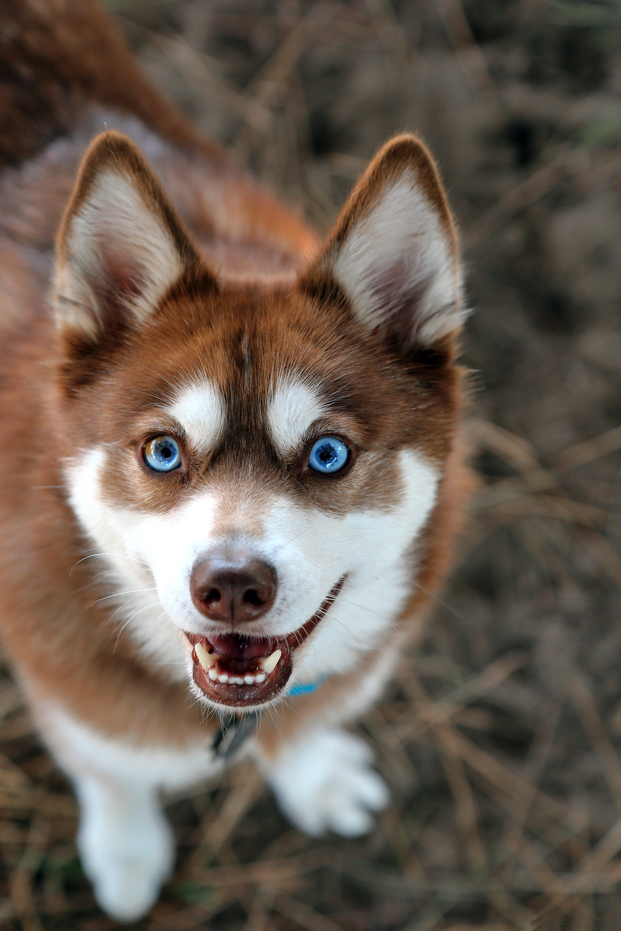 Red and white Alaskan Klee Kai portrait from above