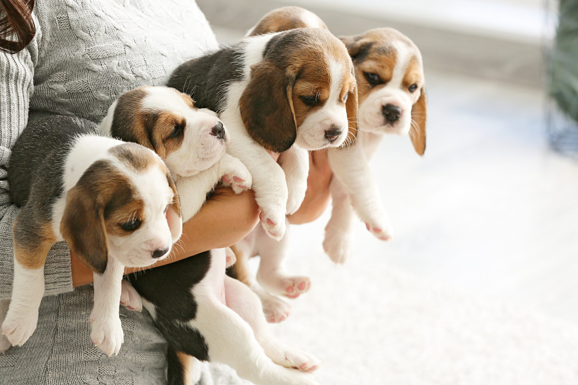 Woman in grey sweater holds five beagle puppies in arms