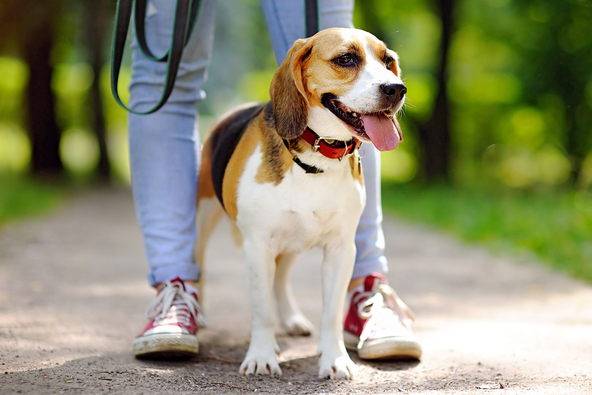 Beagle stands between owner's legs while on walk in park