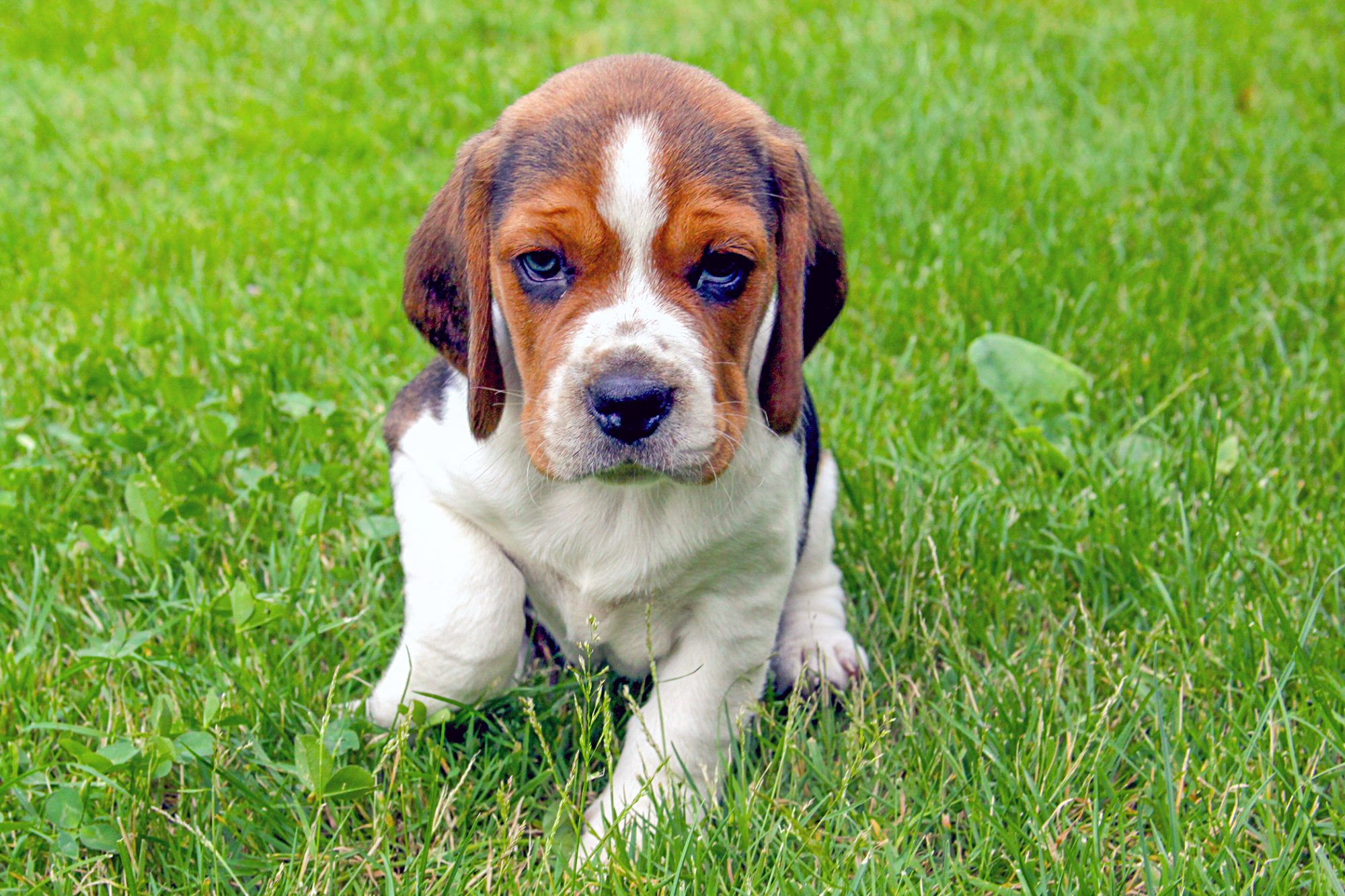 Beagle puppy sits in green grass