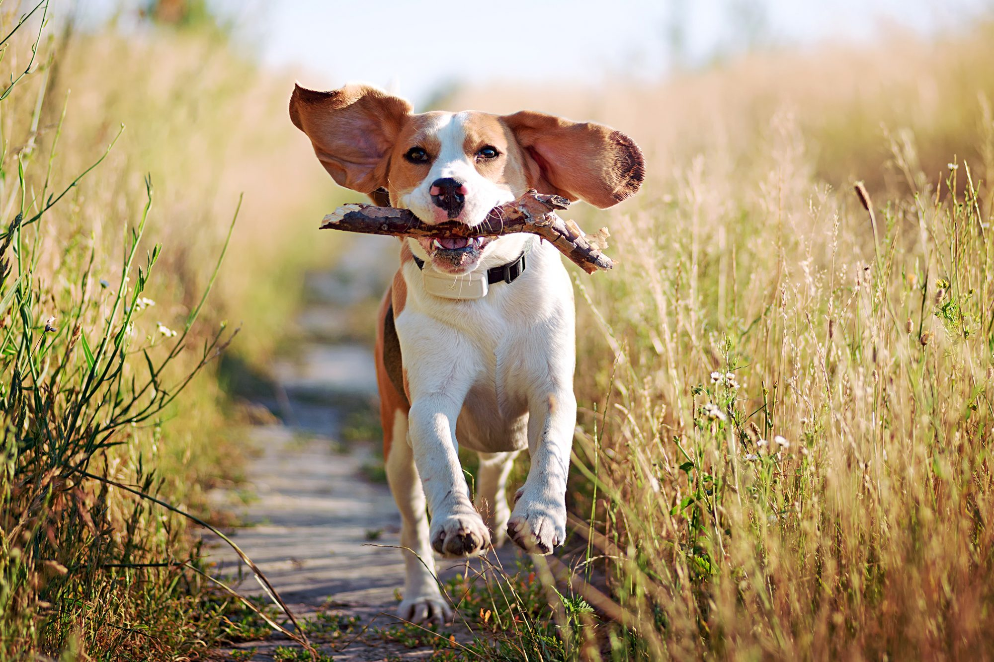 Beagle runs on prairie path while holding stick in mouth