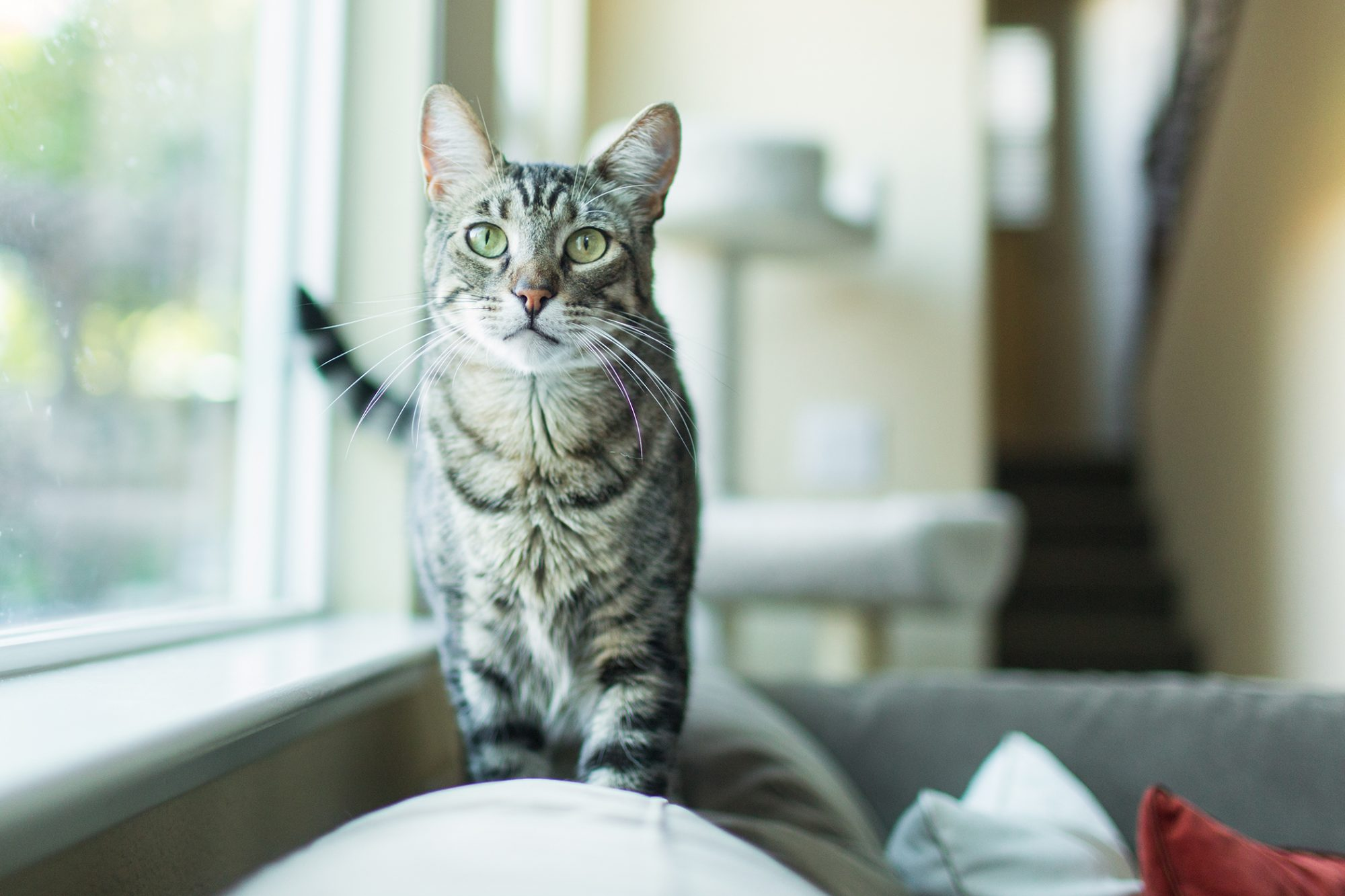 Cool-toned photo of grey and black striped cat walking on top of couch cushions