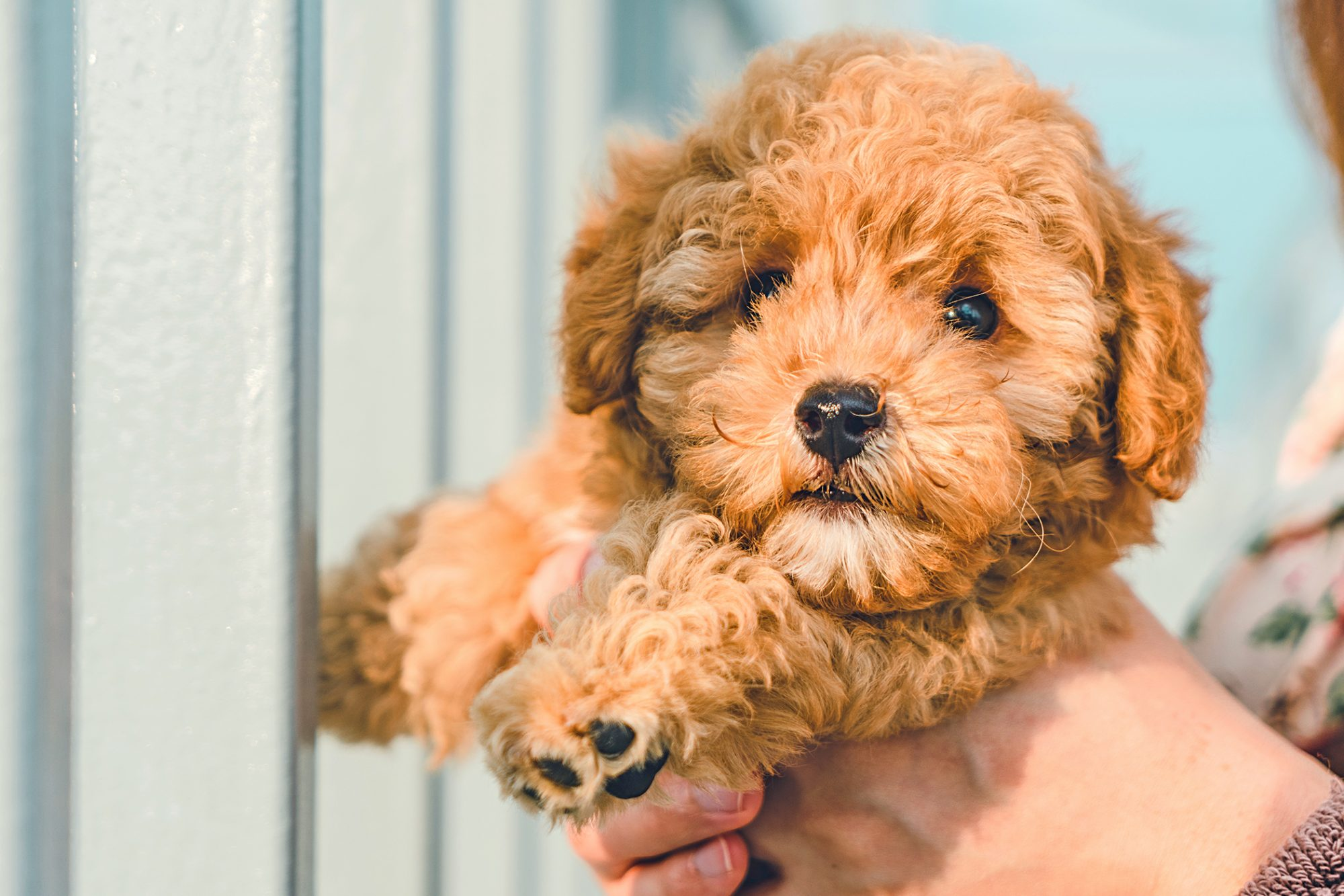 Fluffy blonde cavapoo puppy held by woman