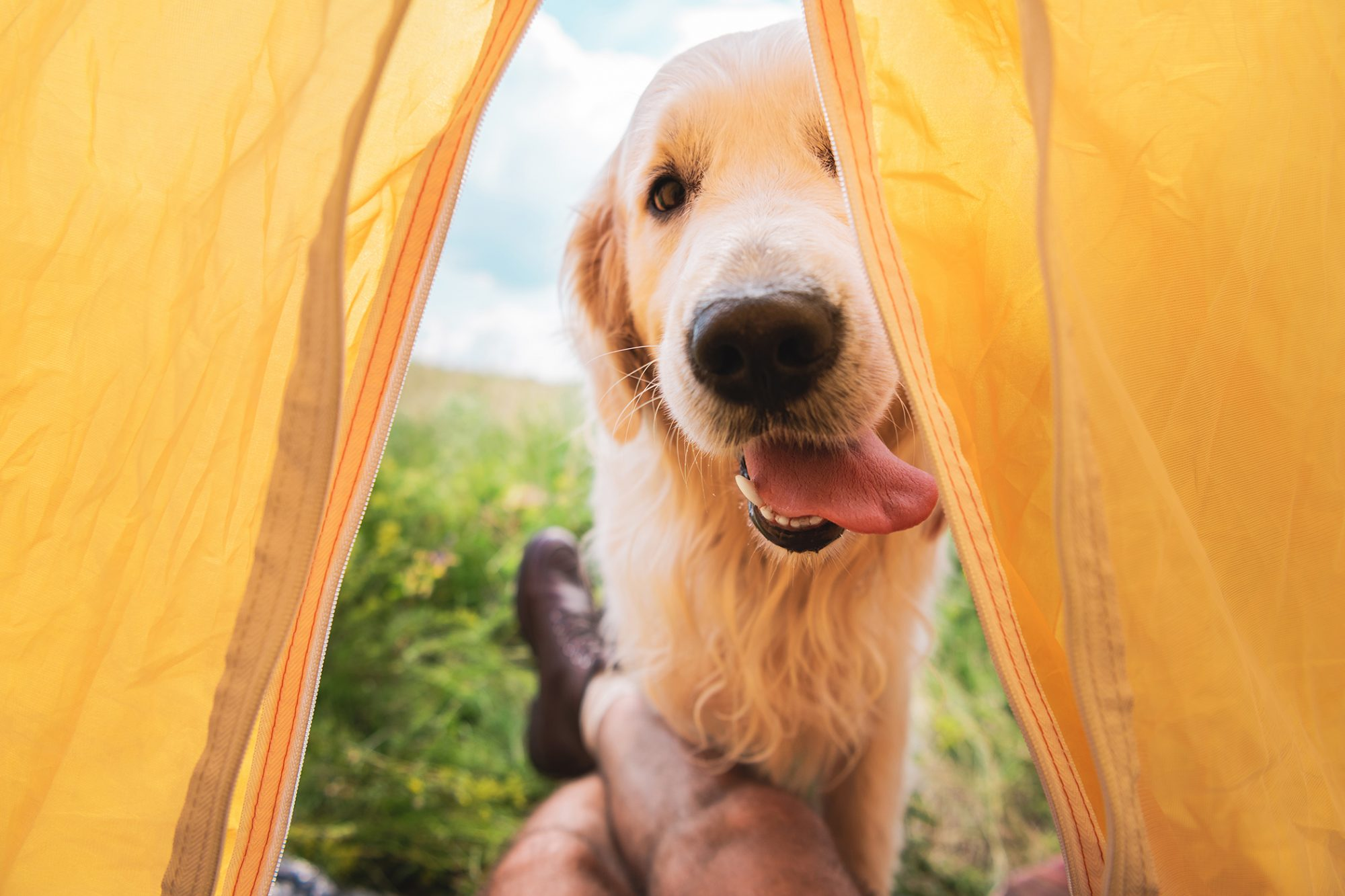 cropped view of traveler in tent with funny golden retriever dog
