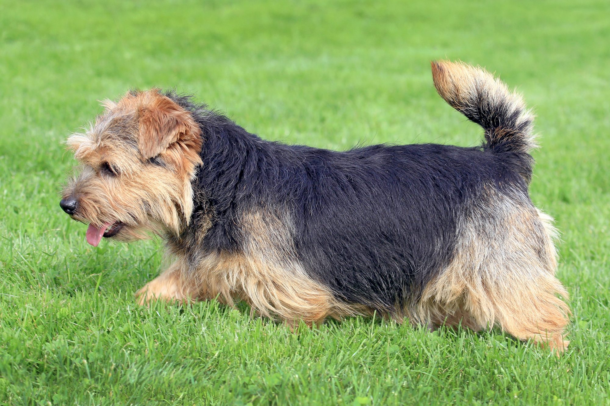 Tan and black norfolk terrier peruses the grass