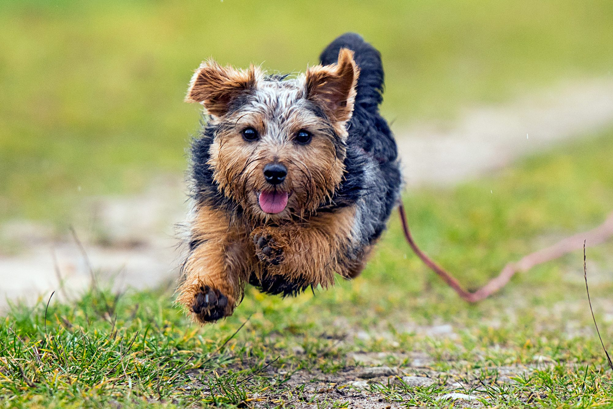 Black and tan Norfolk terrier runs through grass while on red leash