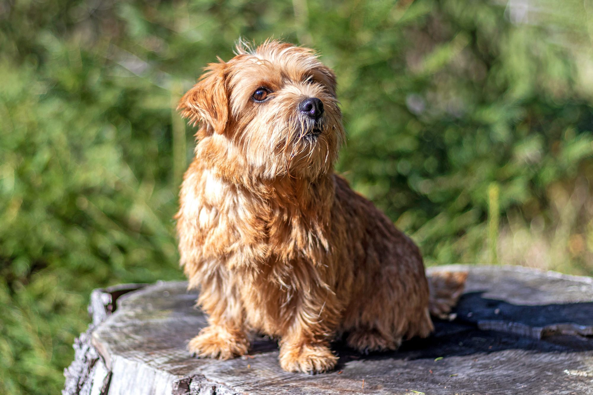 Shaggy norfolk terrier sits outside on large tree stump