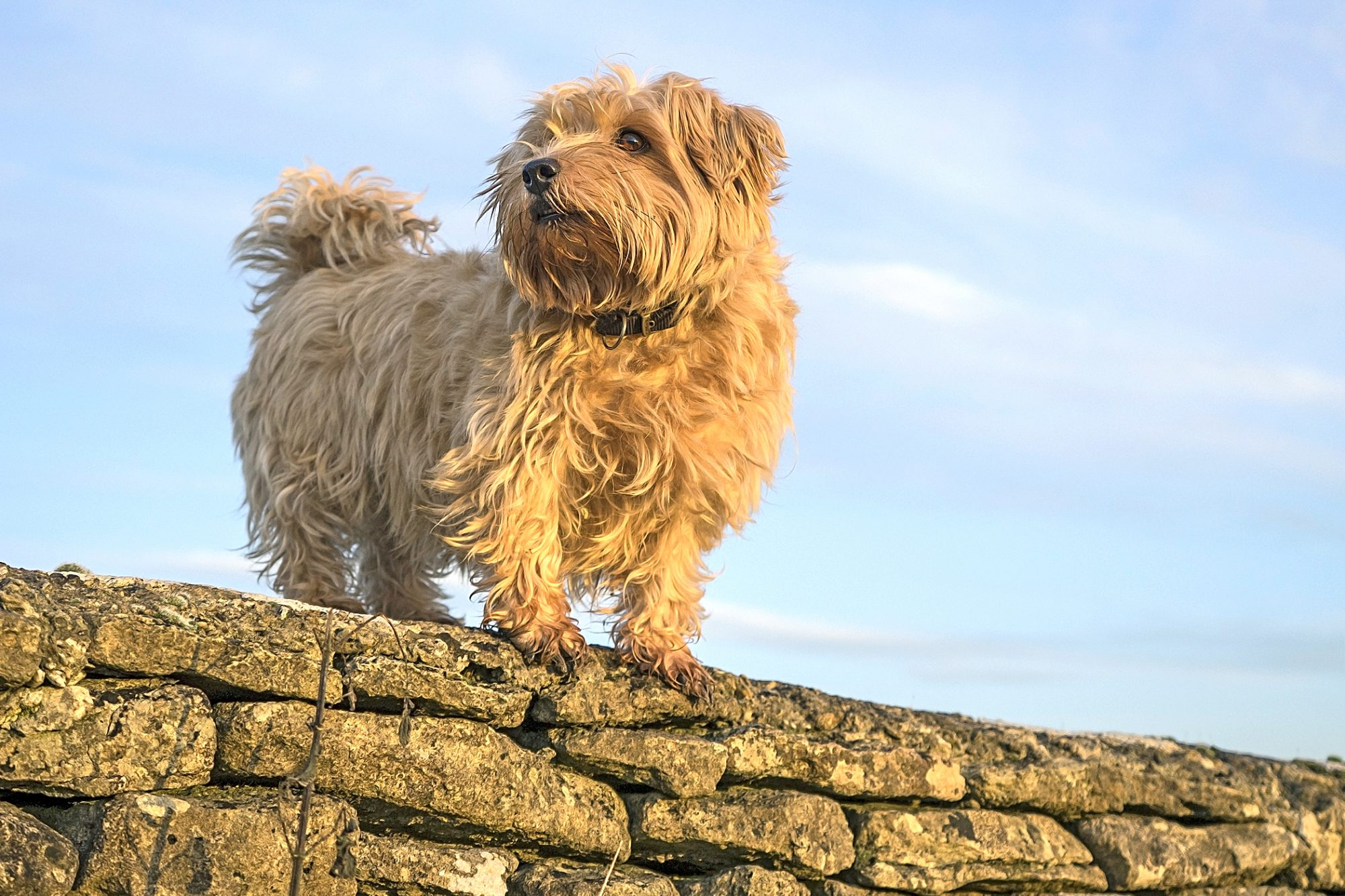 Long-haired blonde Norfolk terrier stands on stone wall outdoors