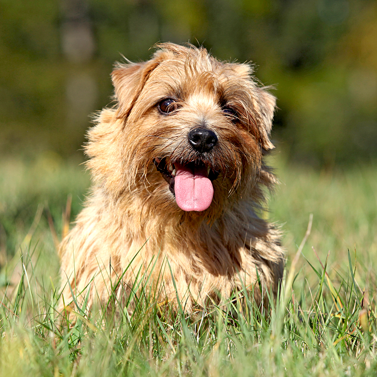 Blonde norfolk terrier happily sits in tall grass