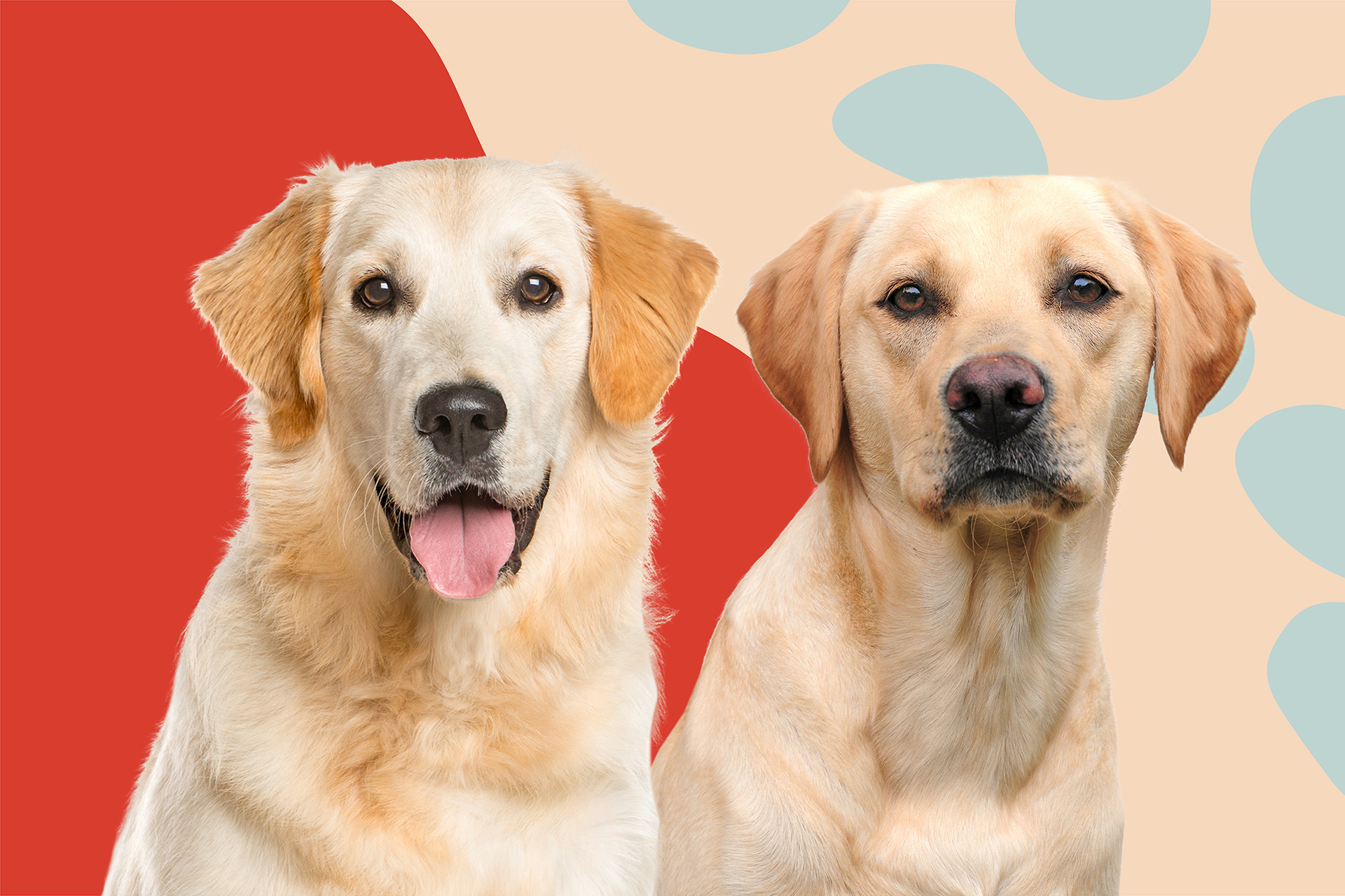 golden retriever and yellow lab against illustrative background