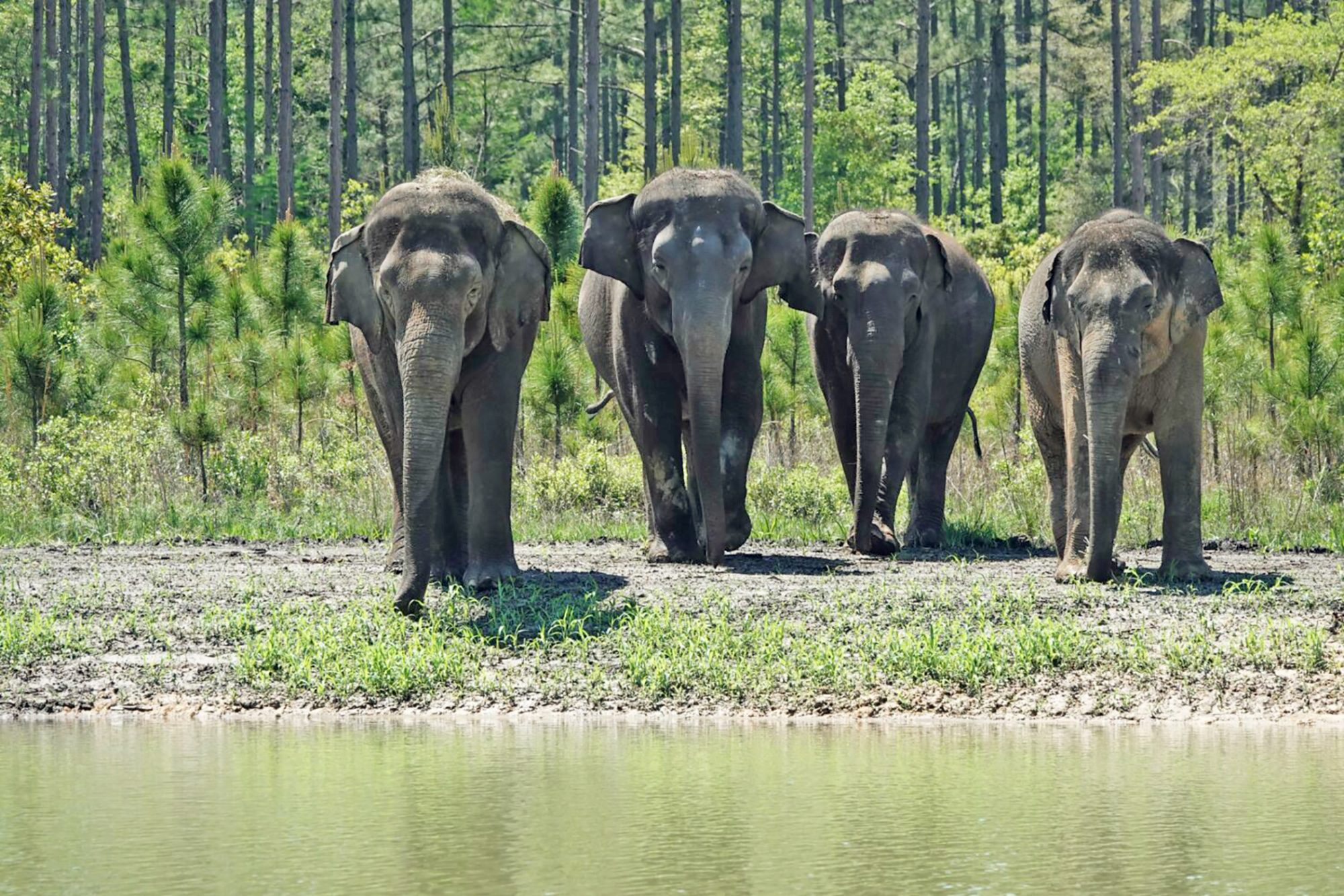 Former Circus Elephants Find New Home at North Florida Sanctuary
