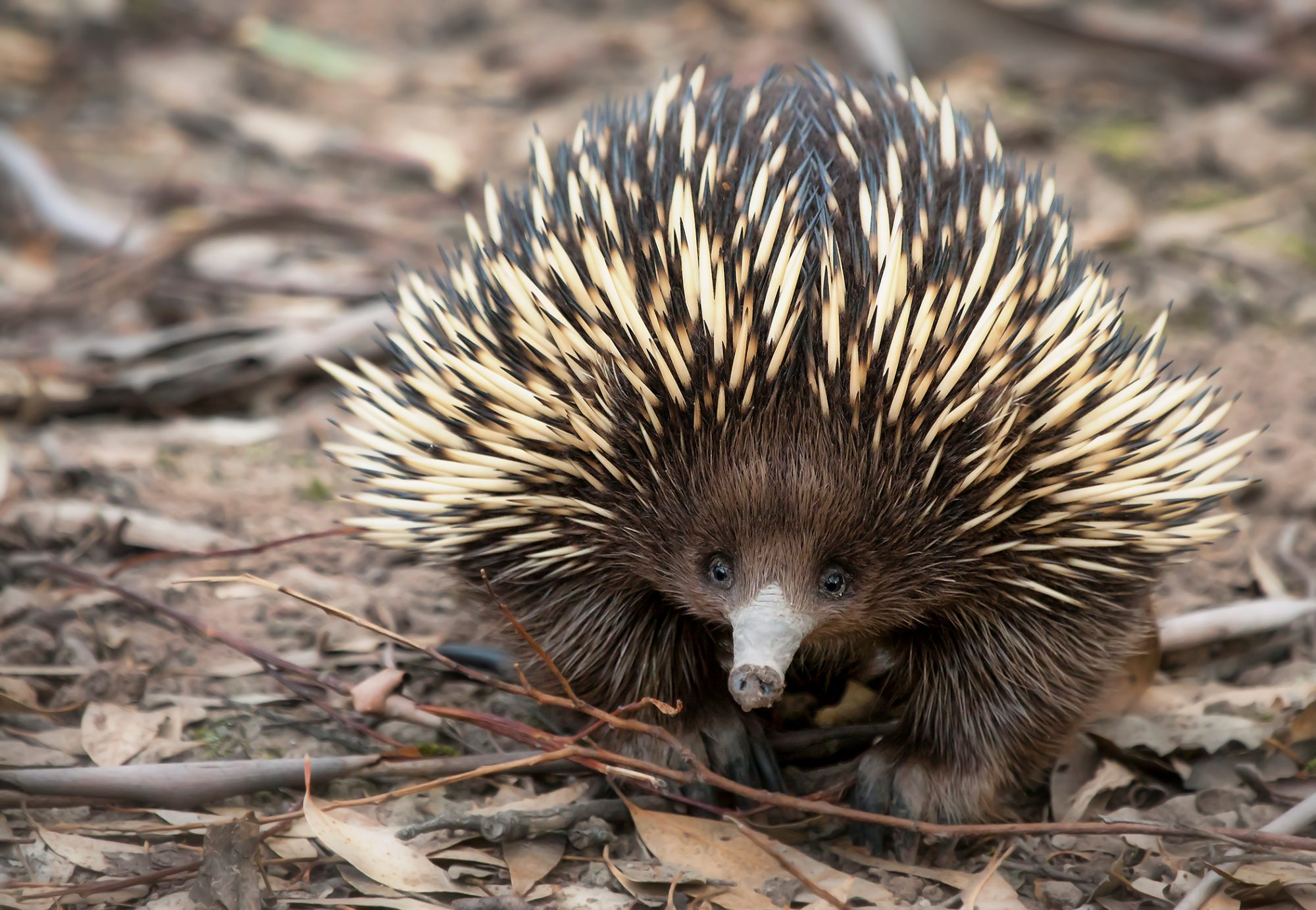 baby Echidna laying on leaves