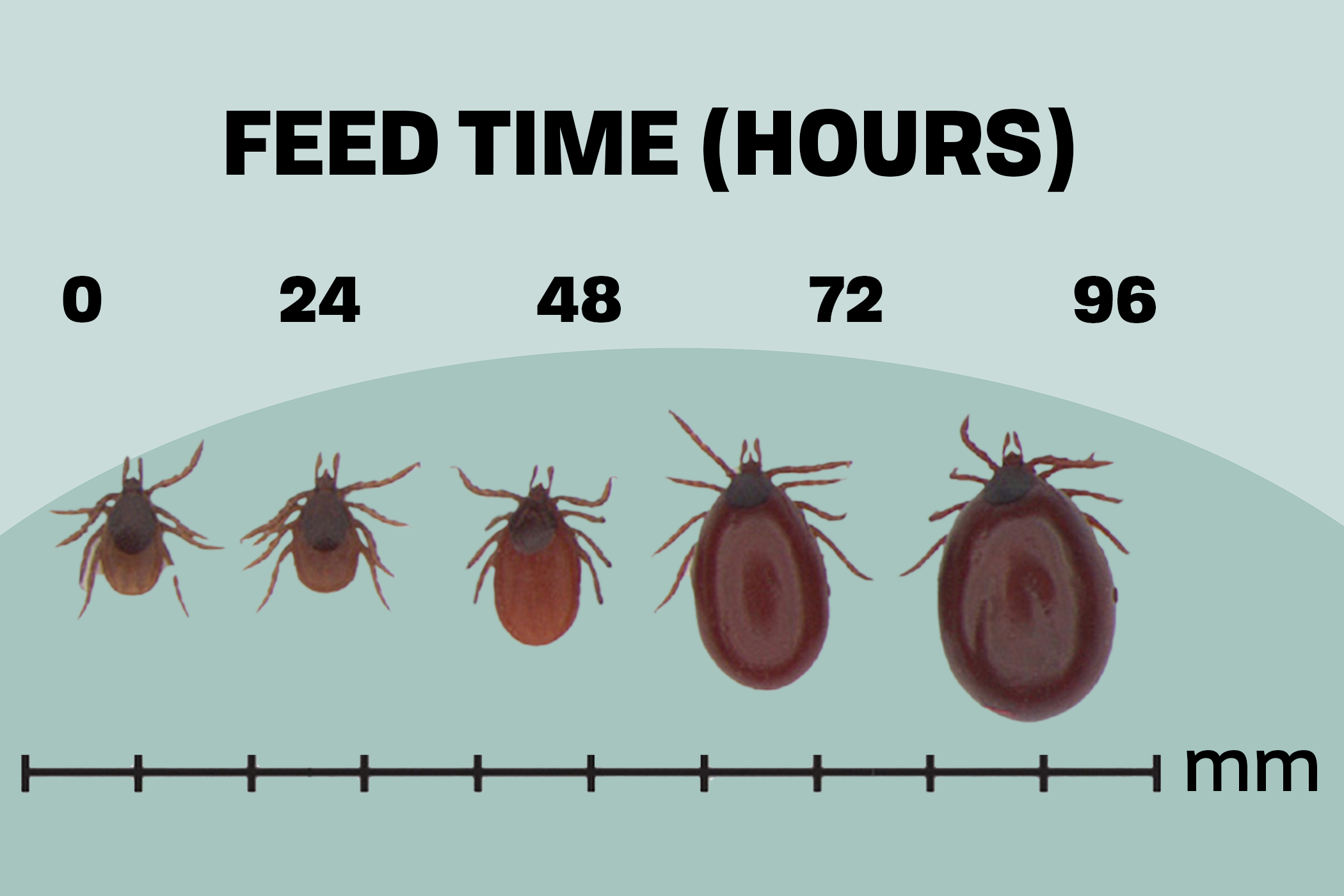 Infographic showing sizes of a tick based of how long they've fed