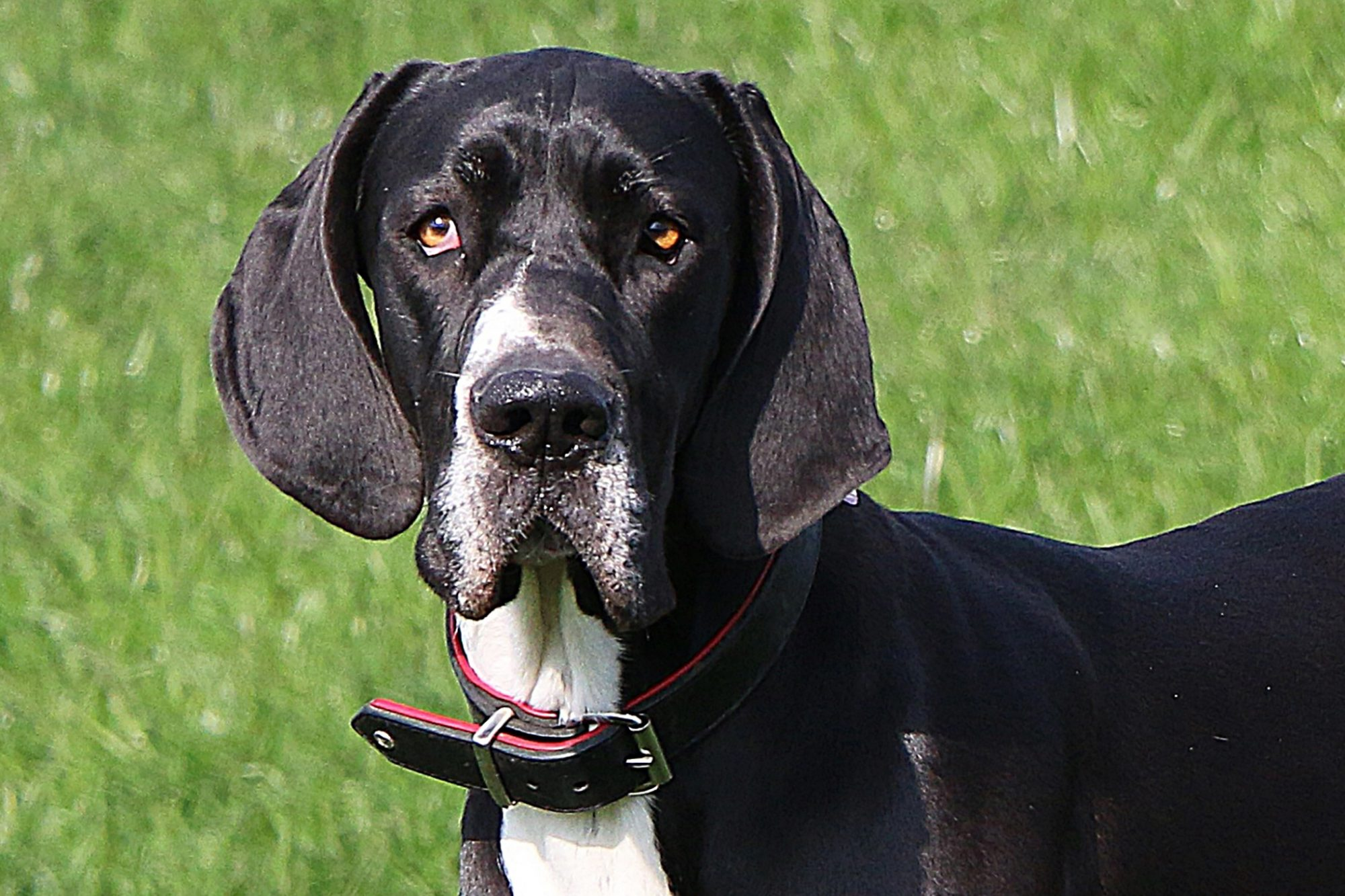 black and white great dane standing in the grass