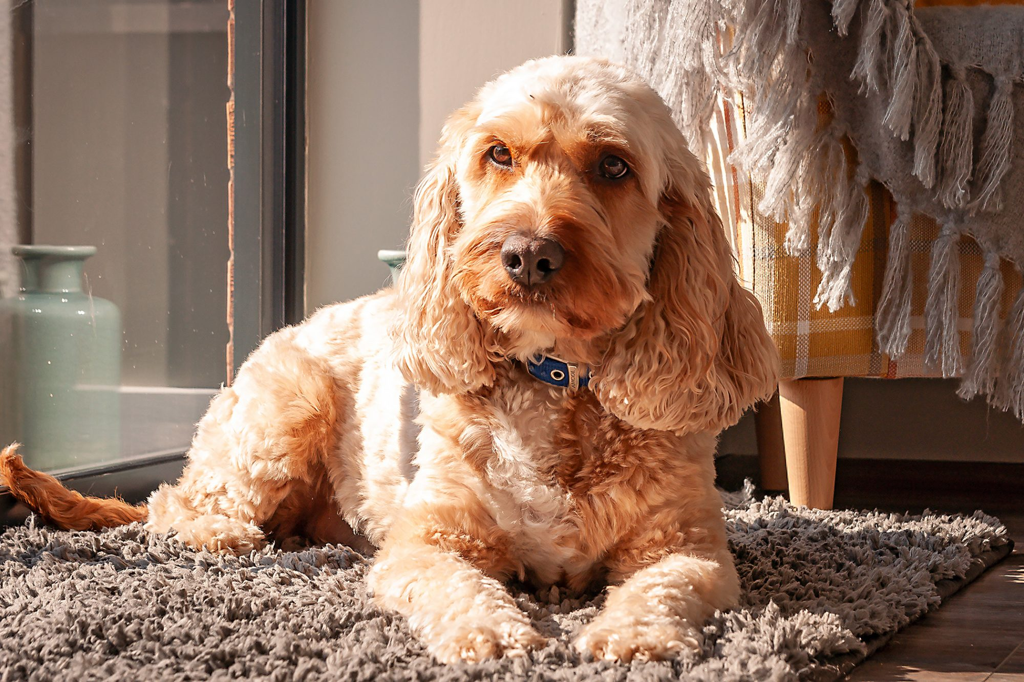 Cockapoo lying on rug in front of window