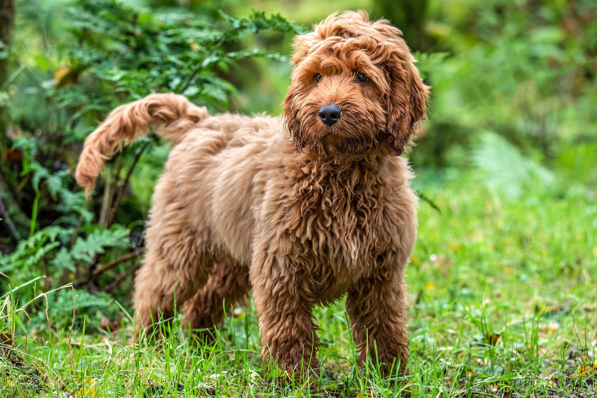 Red Cockapoo standing in front of green foliage
