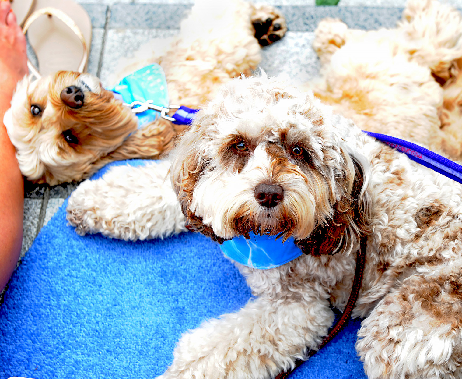 two cockapoos lying on blue rug