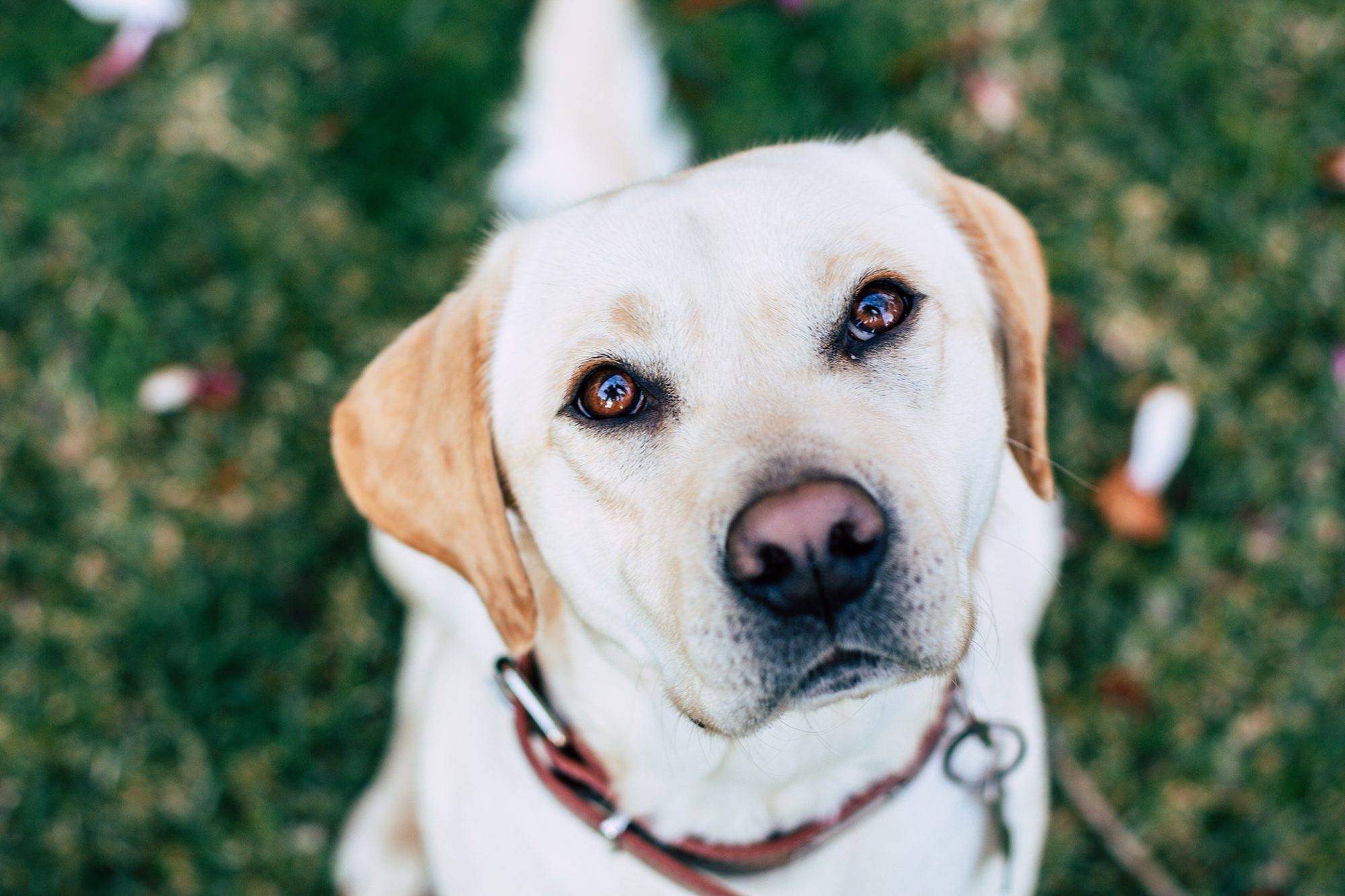 close up of golden lab sitting on grass looking up