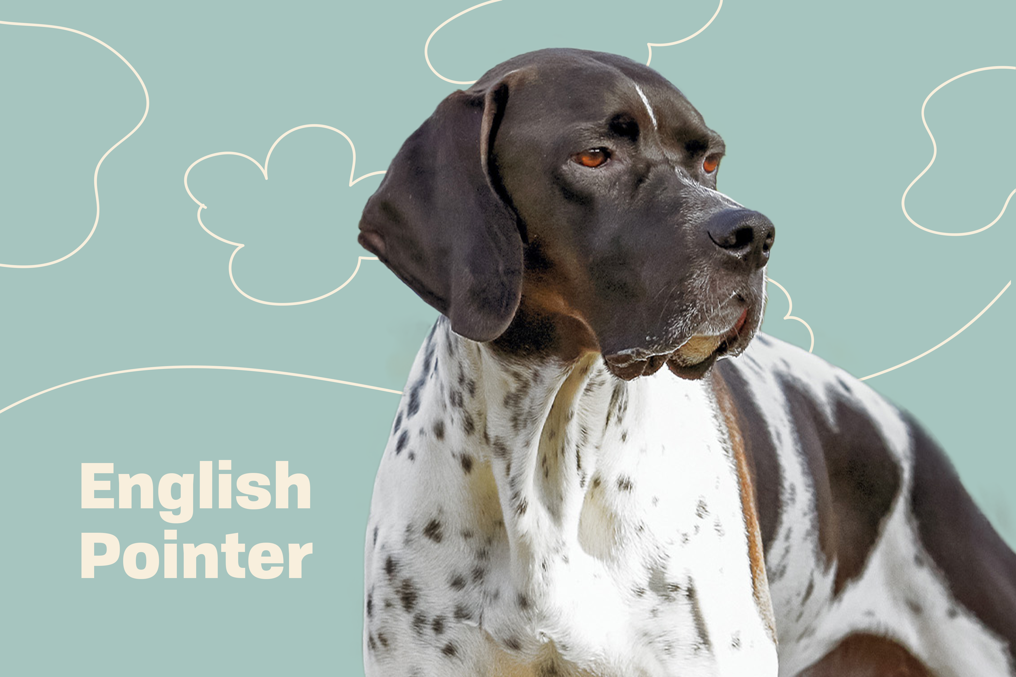 English Pointer on background of cloud illustration