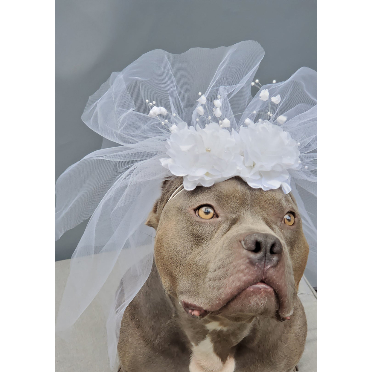 bridal veil for dogs