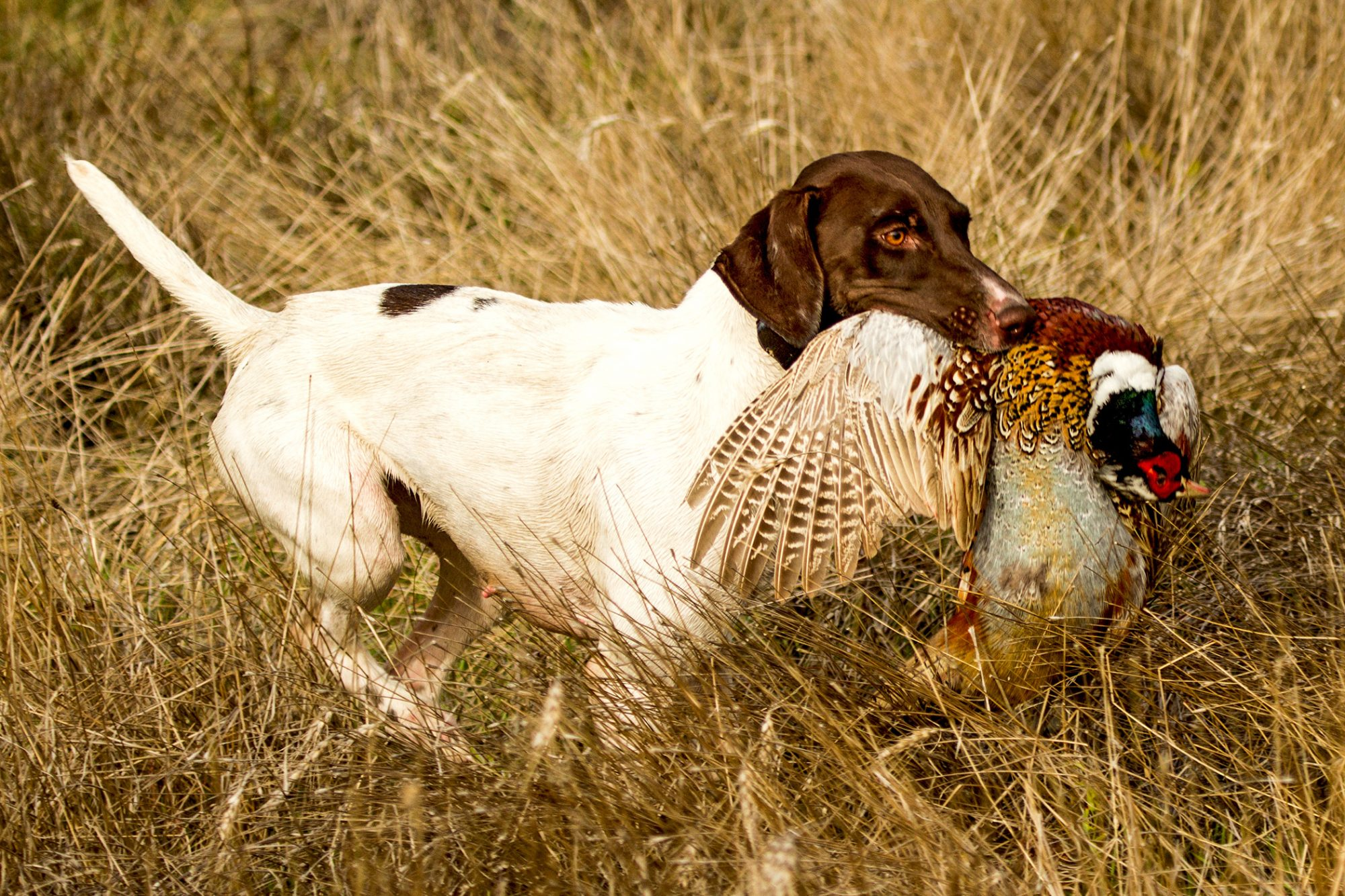 English Pointer in tall grass with bird in his mouth