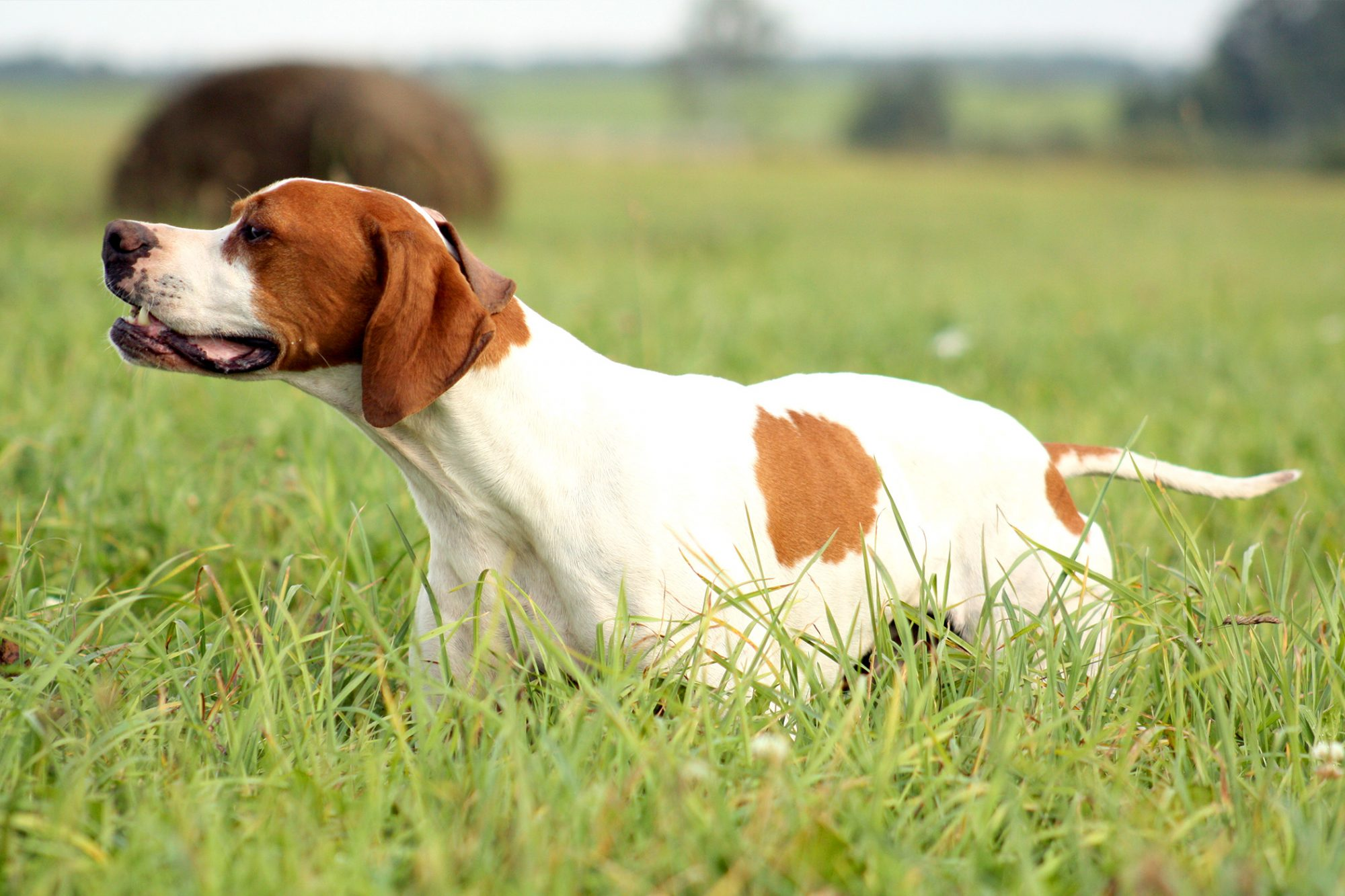 Brown and white English Pointer in tall grass
