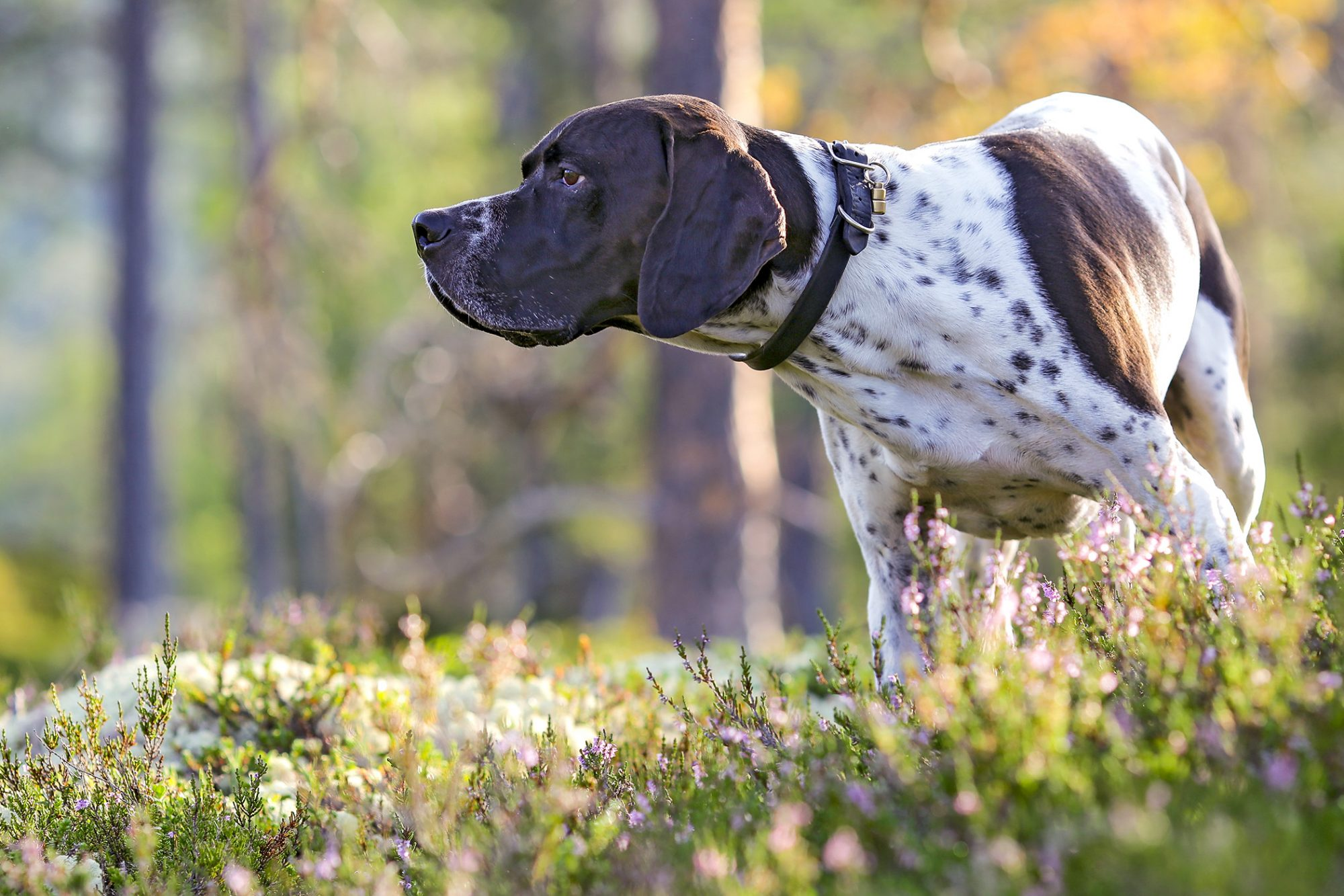 English Pointer in a field of flowers